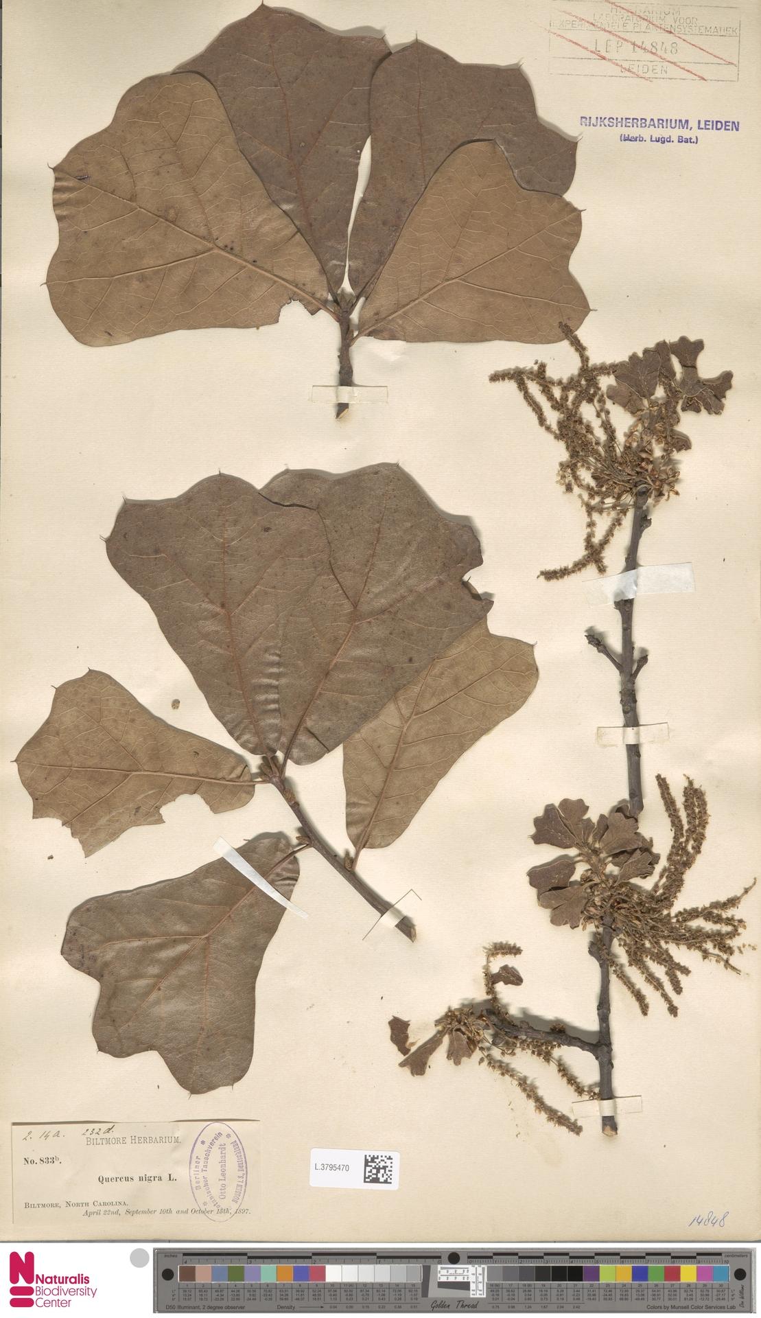 L.3795470   Quercus nigra L.