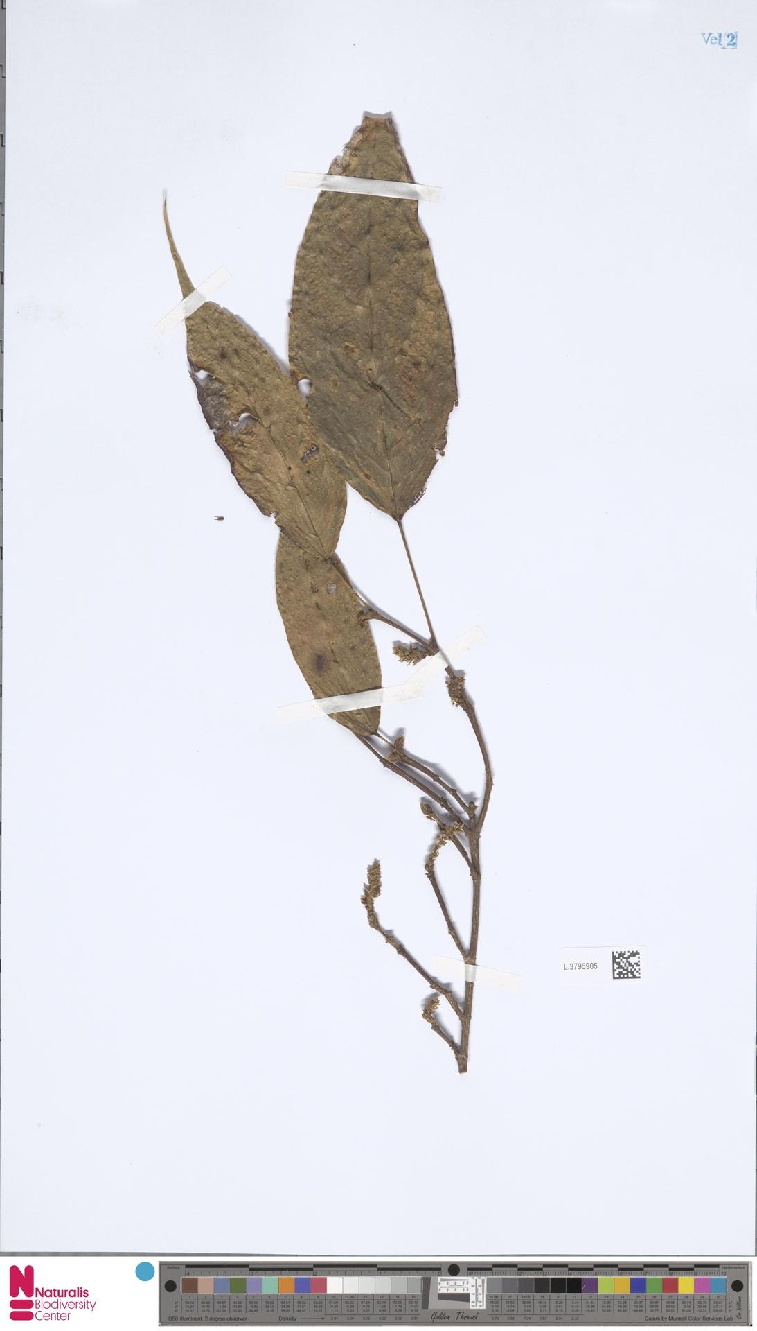 L.3795905 | Mallotus dispar (Blume) Müll.Arg.