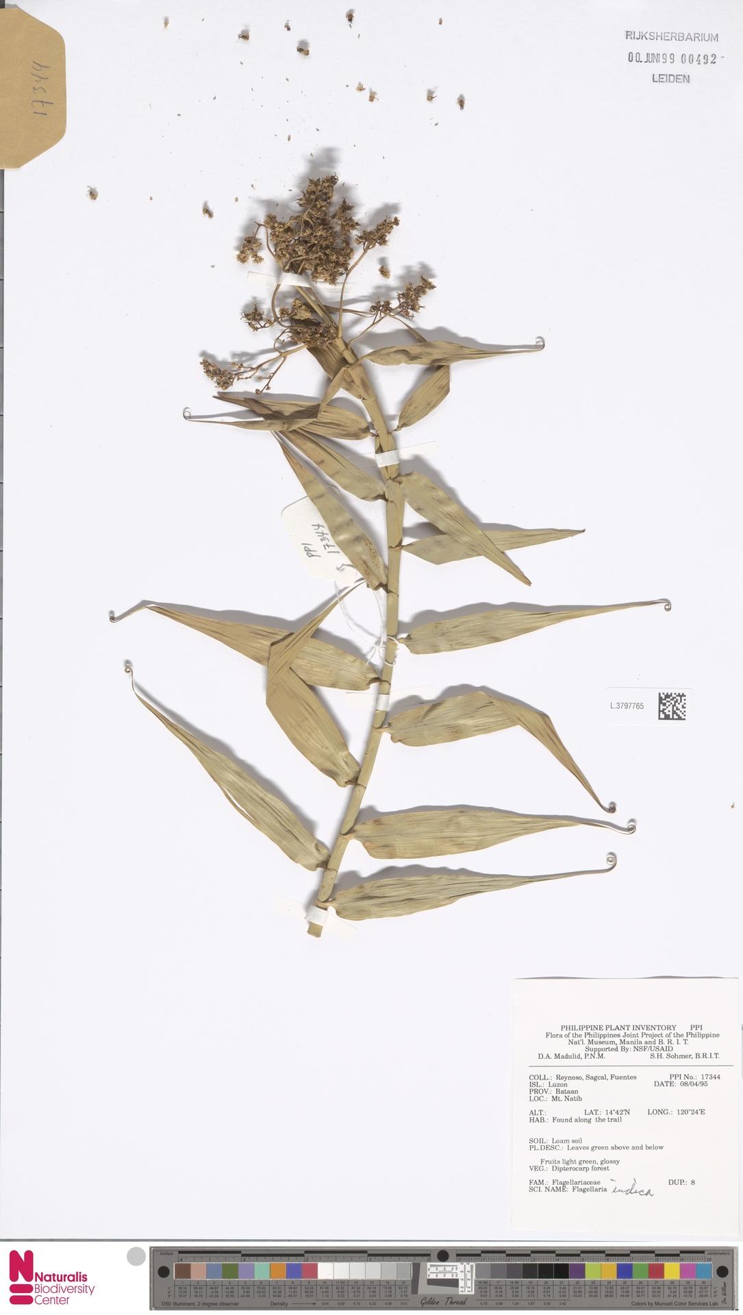 L.3797765 | Flagellaria indica L.
