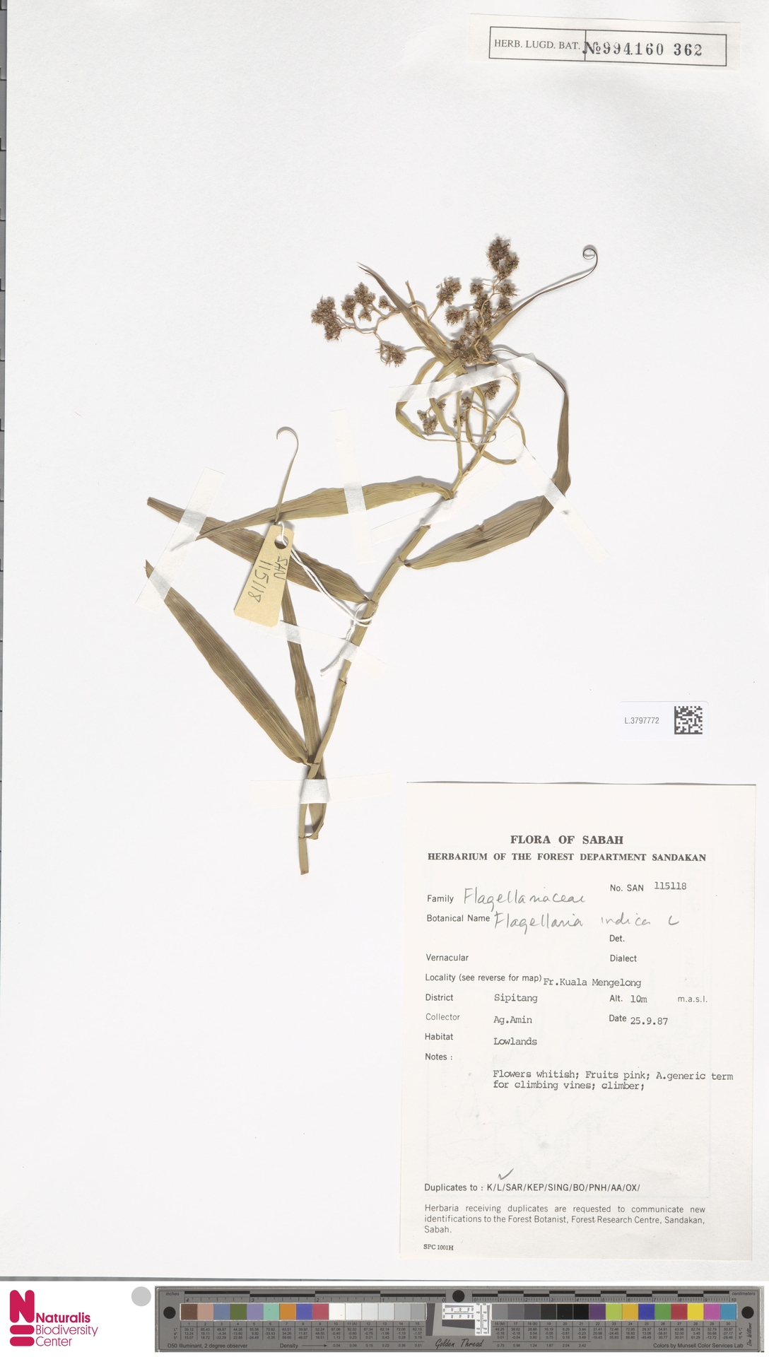 L.3797772   Flagellaria indica L.