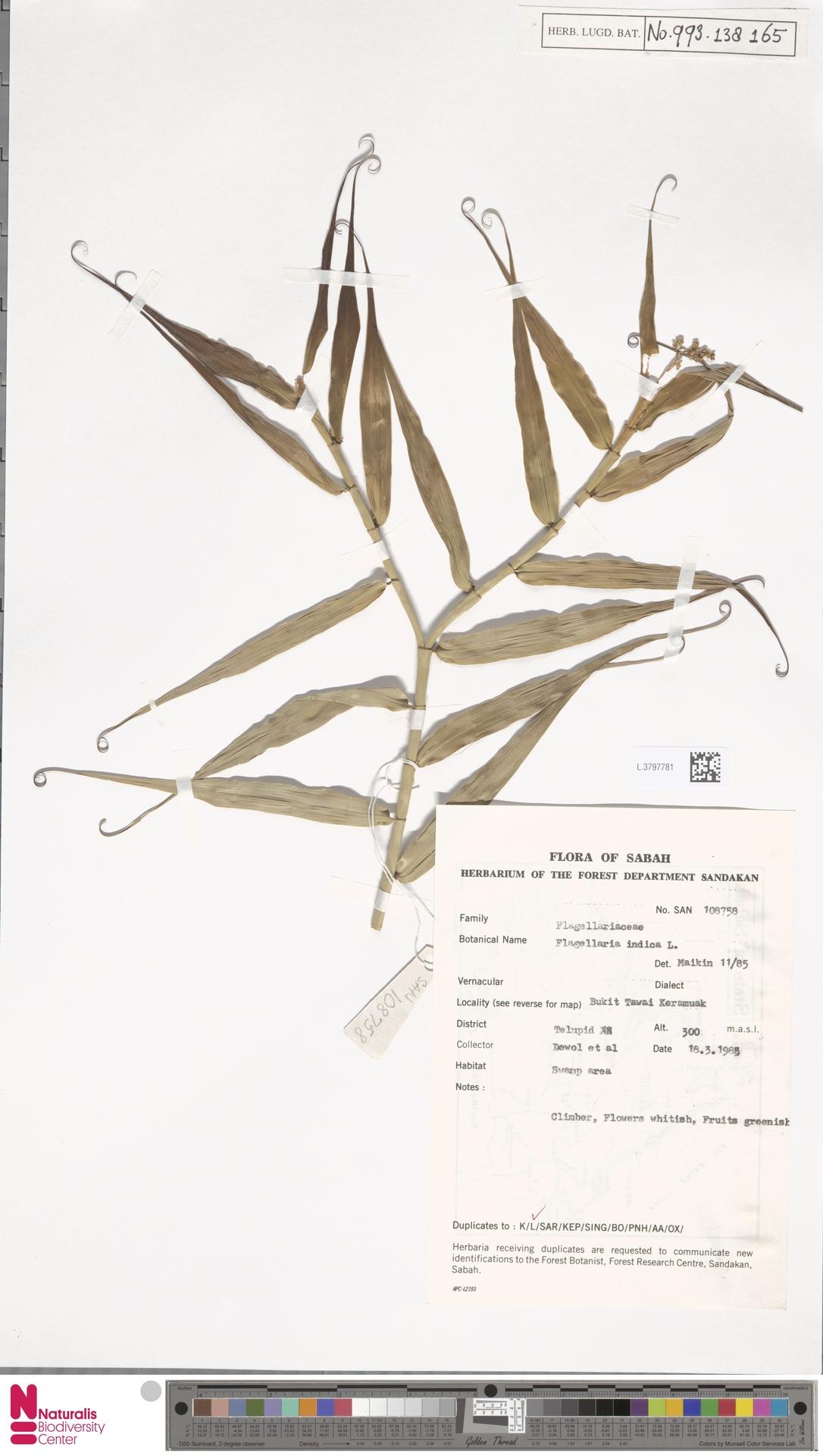 L.3797781 | Flagellaria indica L.