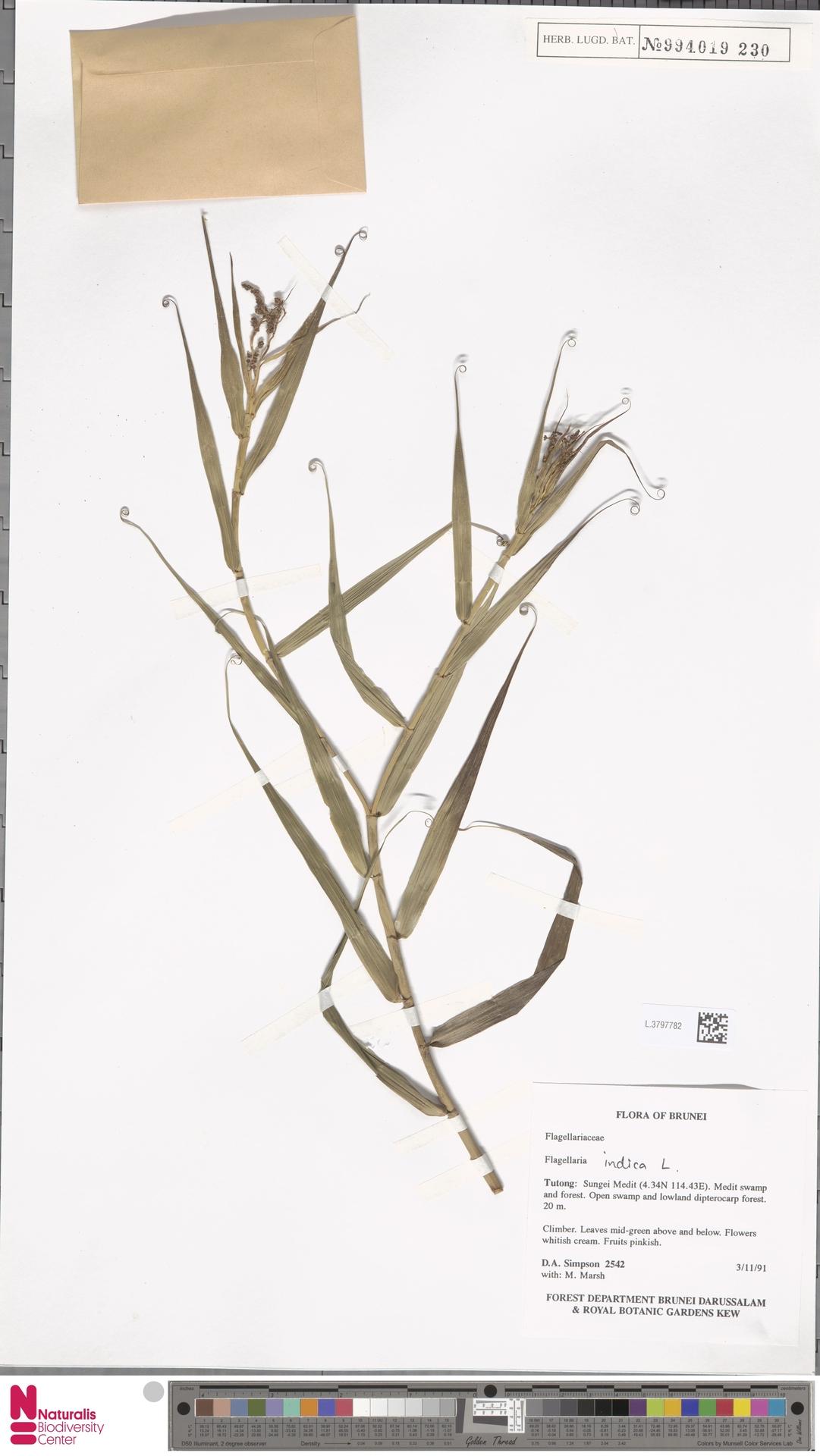 L.3797782 | Flagellaria indica L.