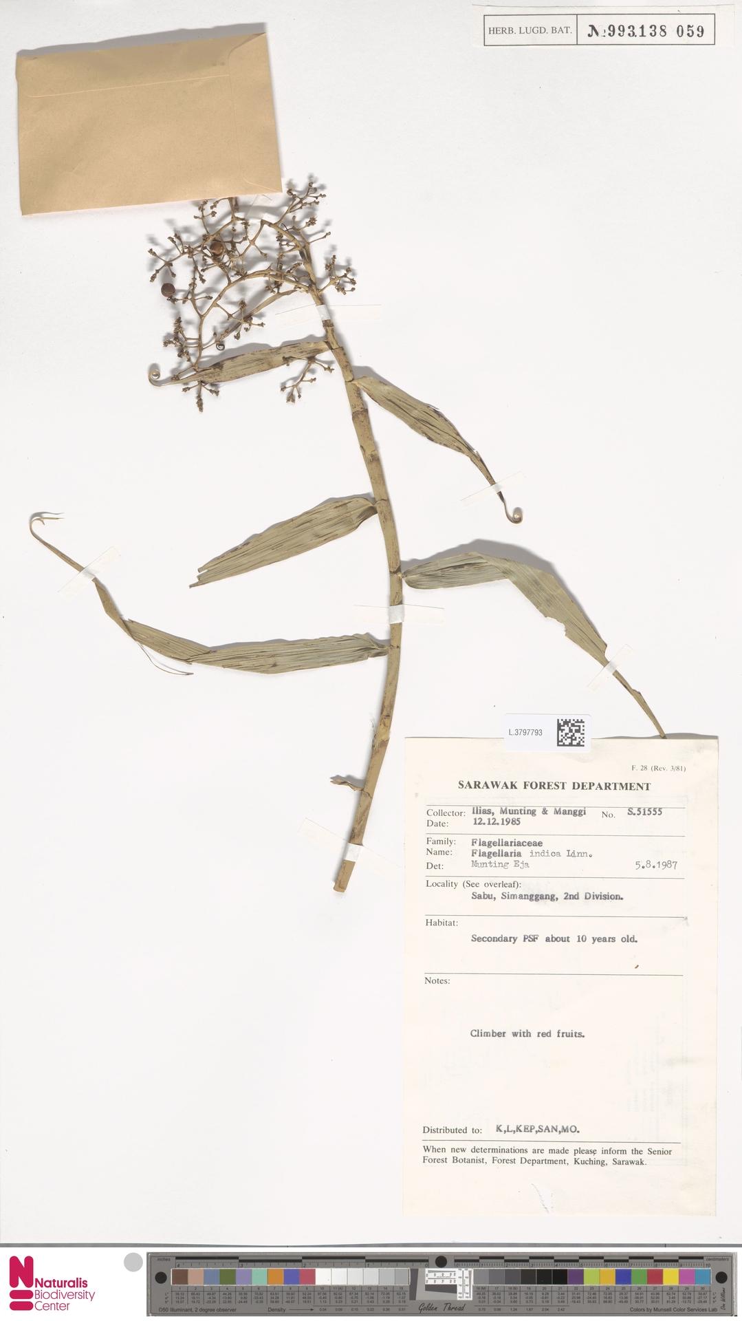 L.3797793 | Flagellaria indica L.