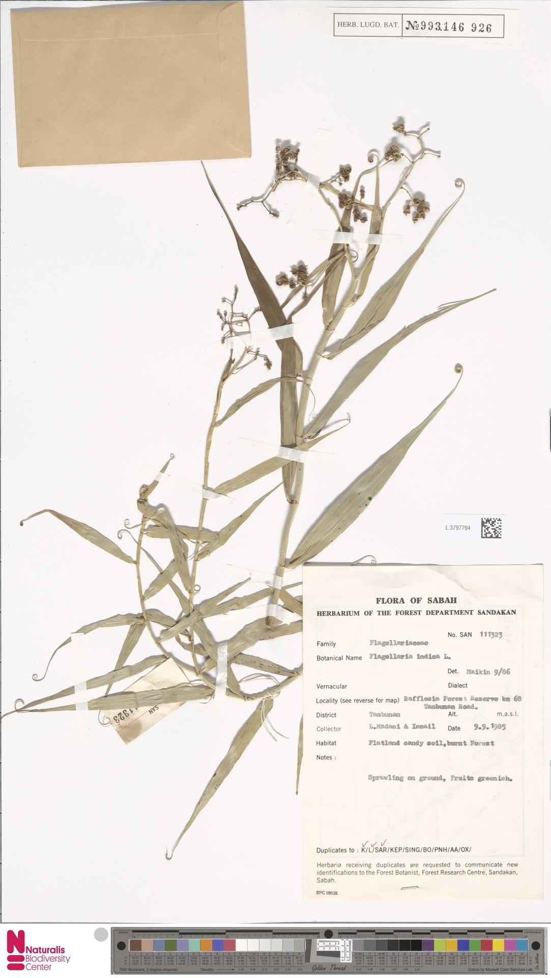 L.3797794 | Flagellaria indica L.