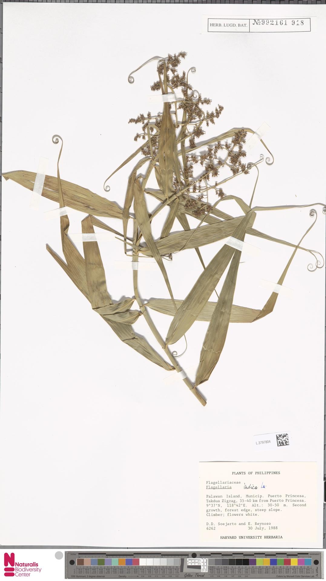 L.3797804 | Flagellaria indica L.