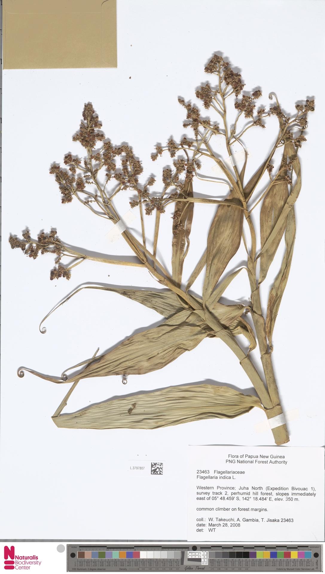 L.3797807 | Flagellaria indica L.