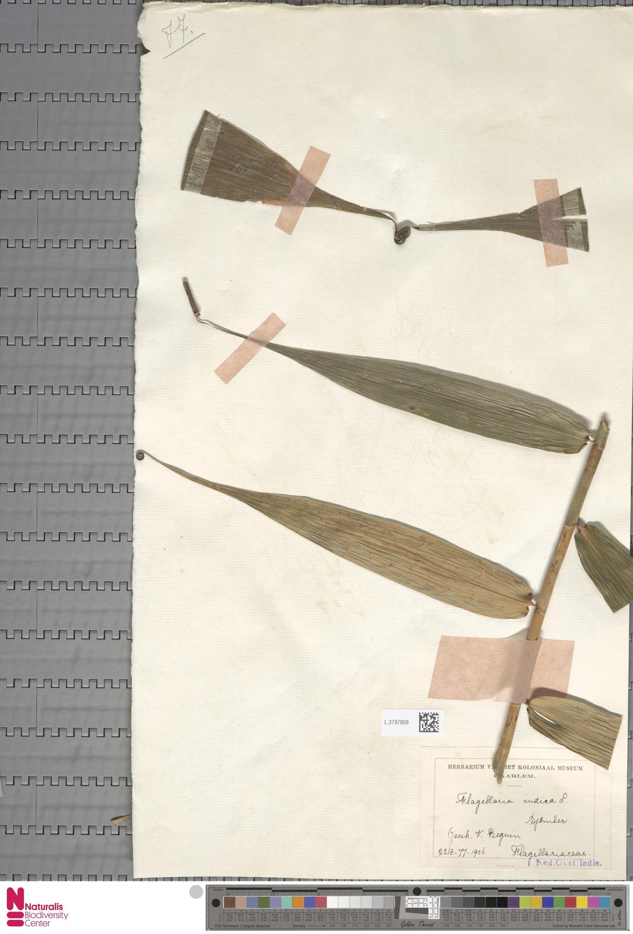 L.3797809 | Flagellaria indica L.
