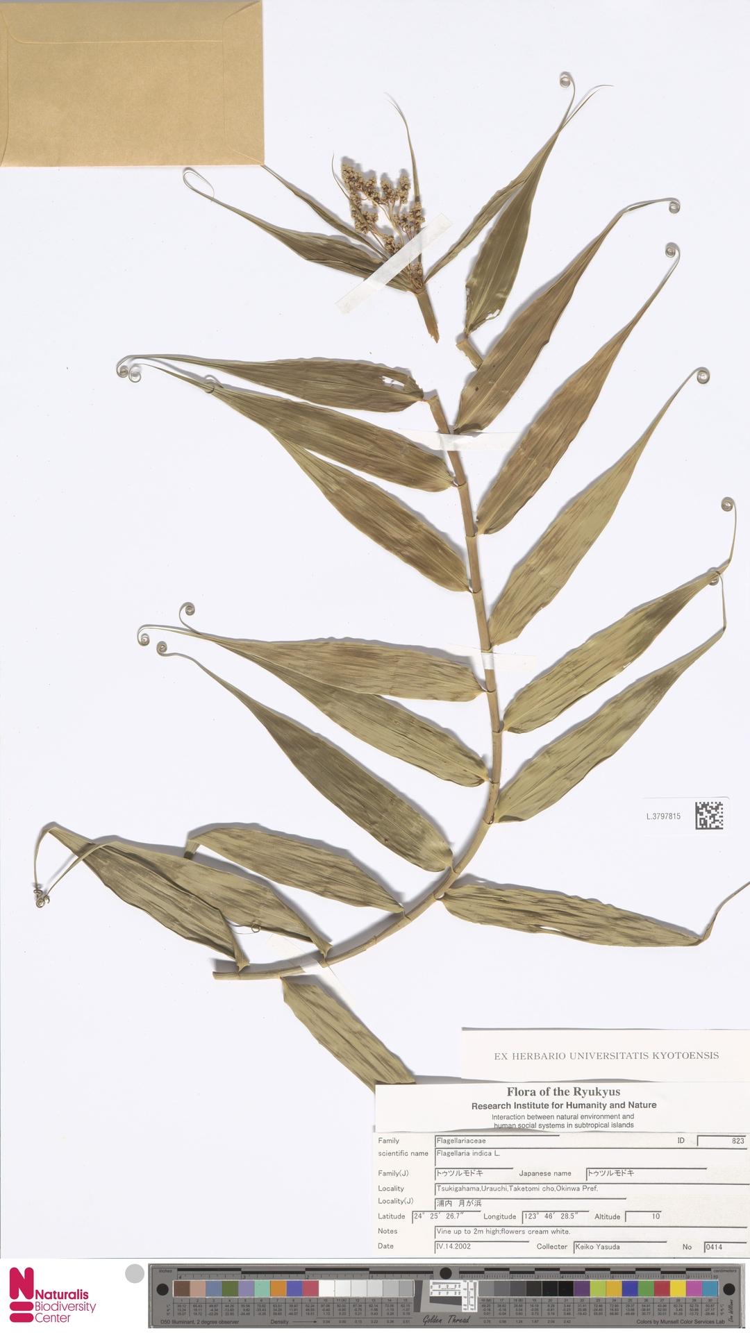 L.3797815   Flagellaria indica L.