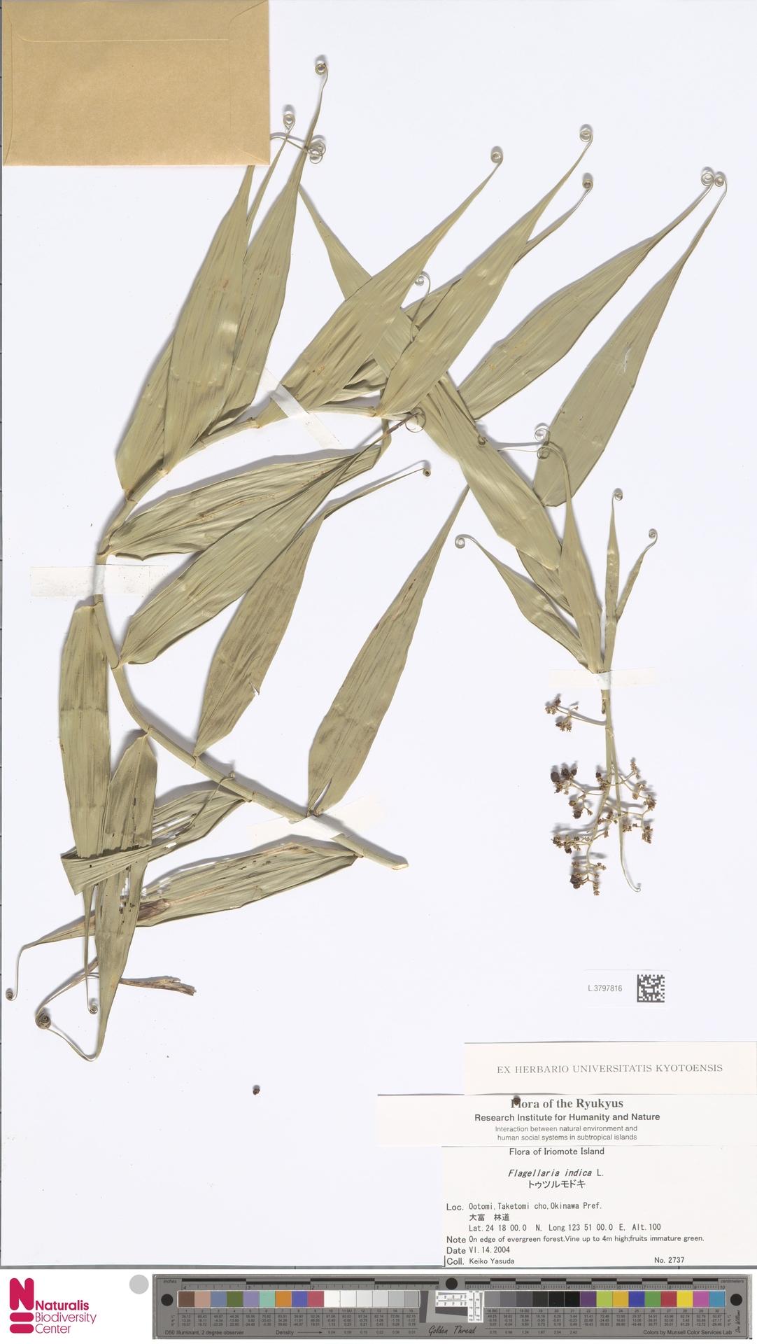 L.3797816 | Flagellaria indica L.