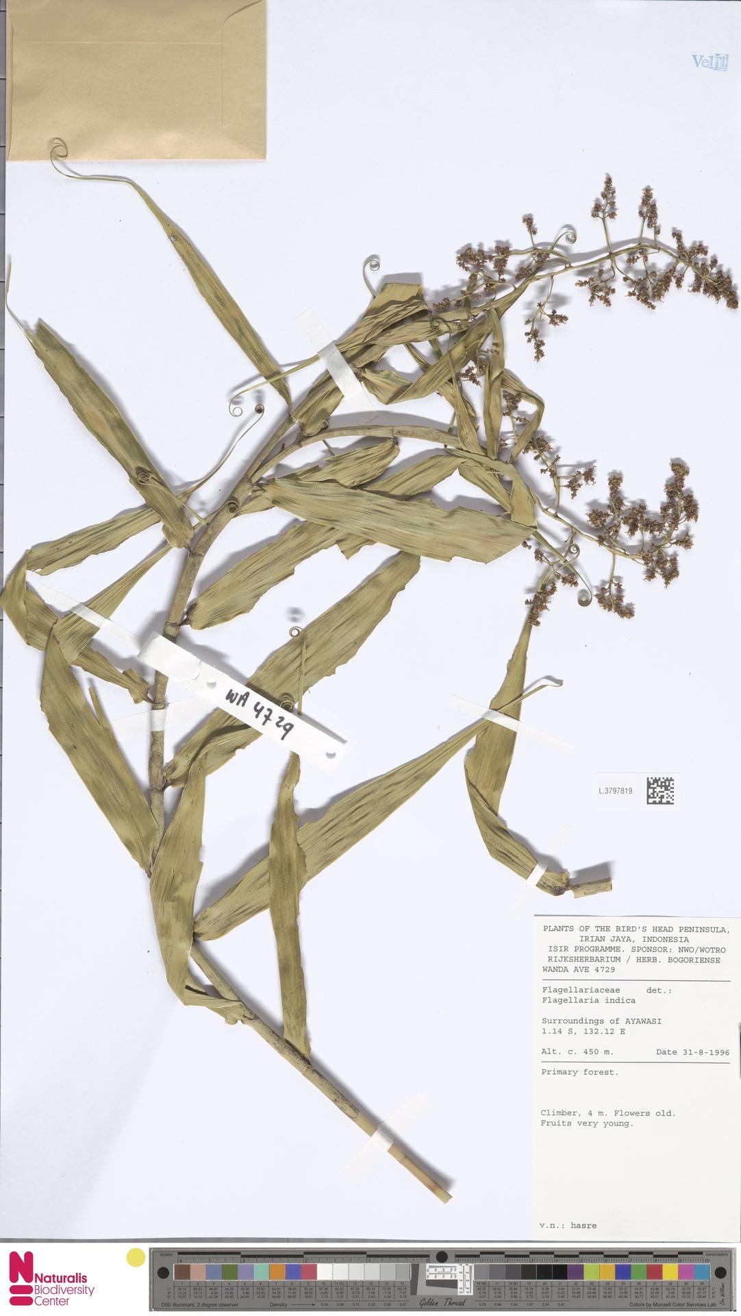 L.3797819 | Flagellaria indica L.
