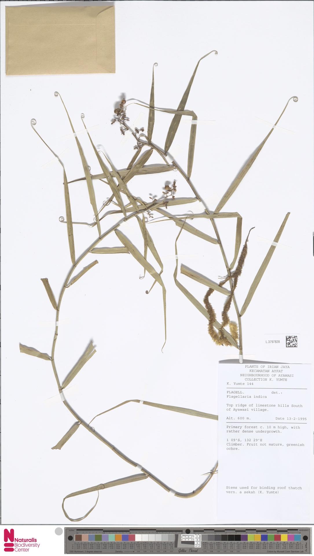 L.3797828 | Flagellaria indica L.