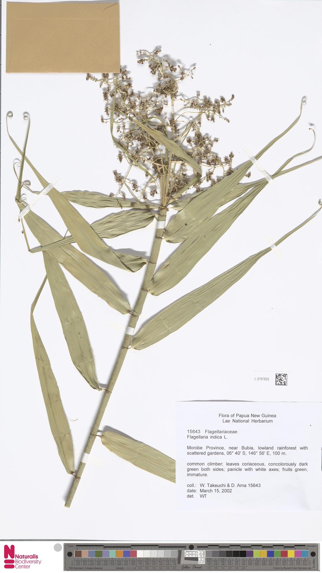 L.3797833 | Flagellaria indica L.