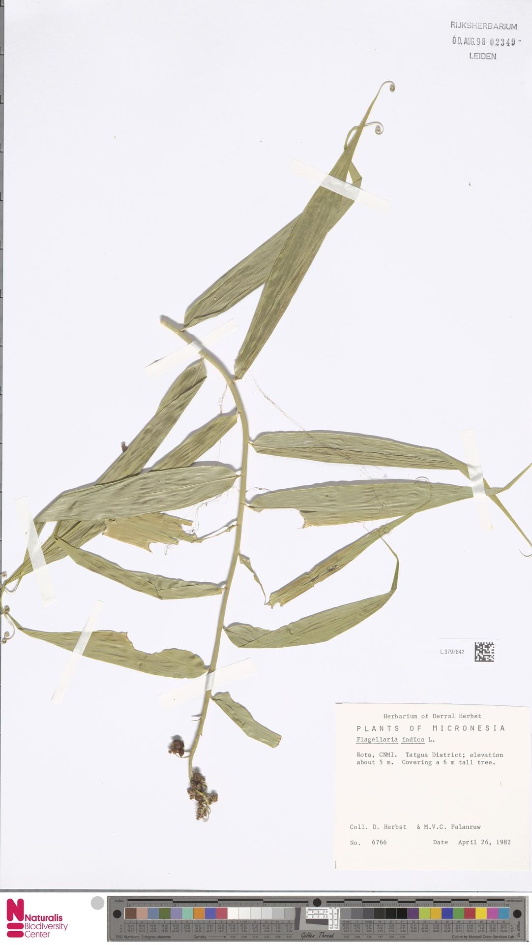 L.3797842 | Flagellaria indica L.