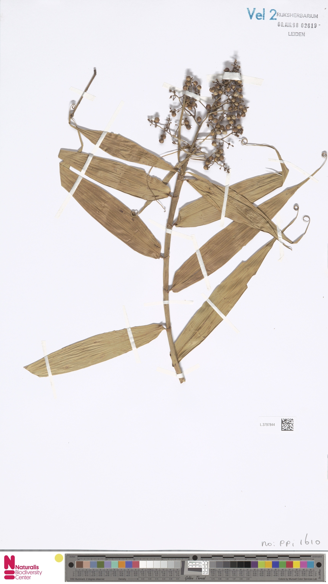 L.3797844 | Flagellaria indica L.