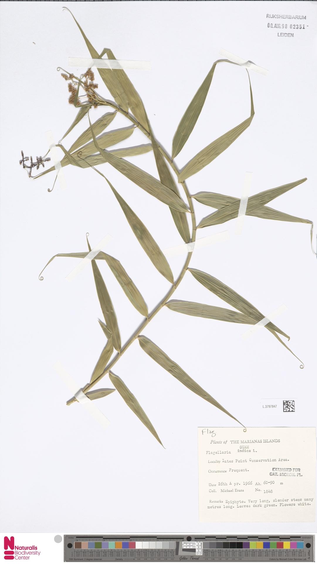 L.3797847 | Flagellaria indica L.