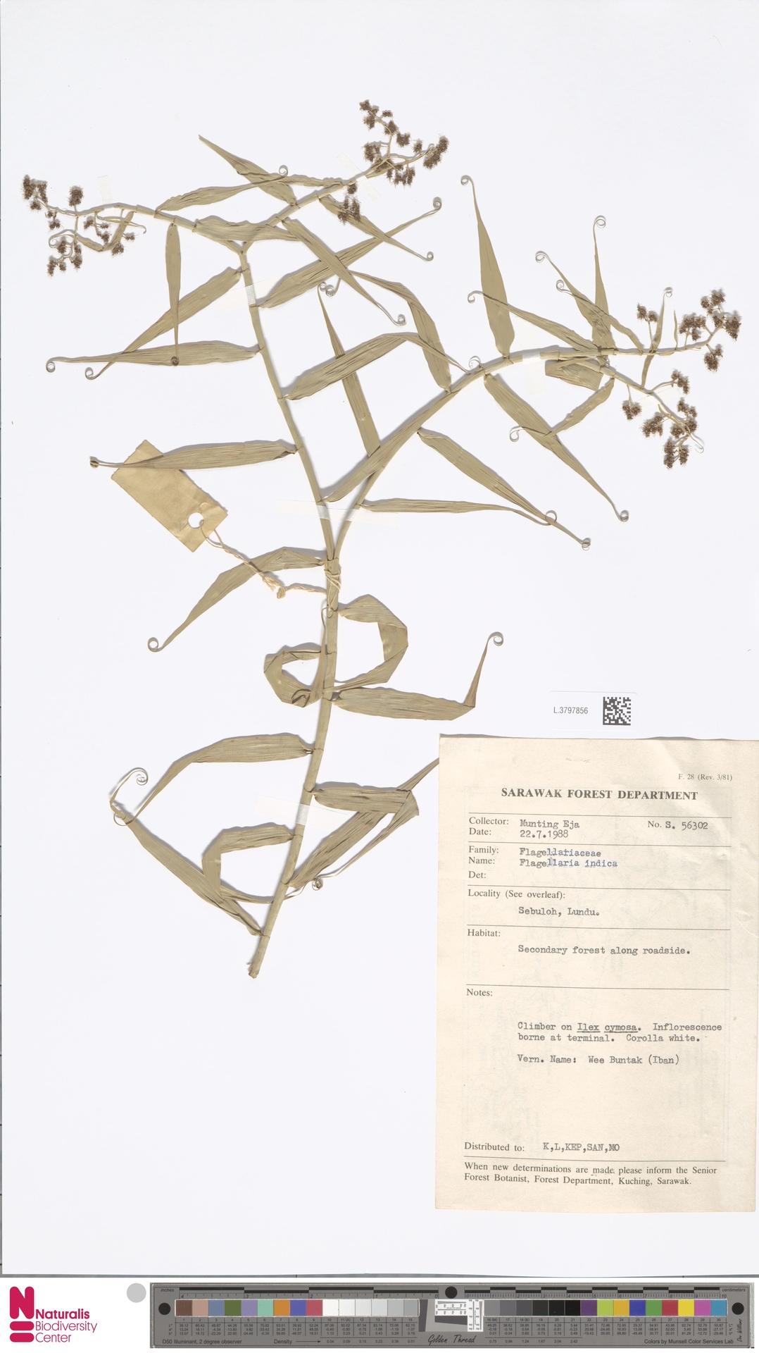 L.3797856 | Flagellaria indica L.