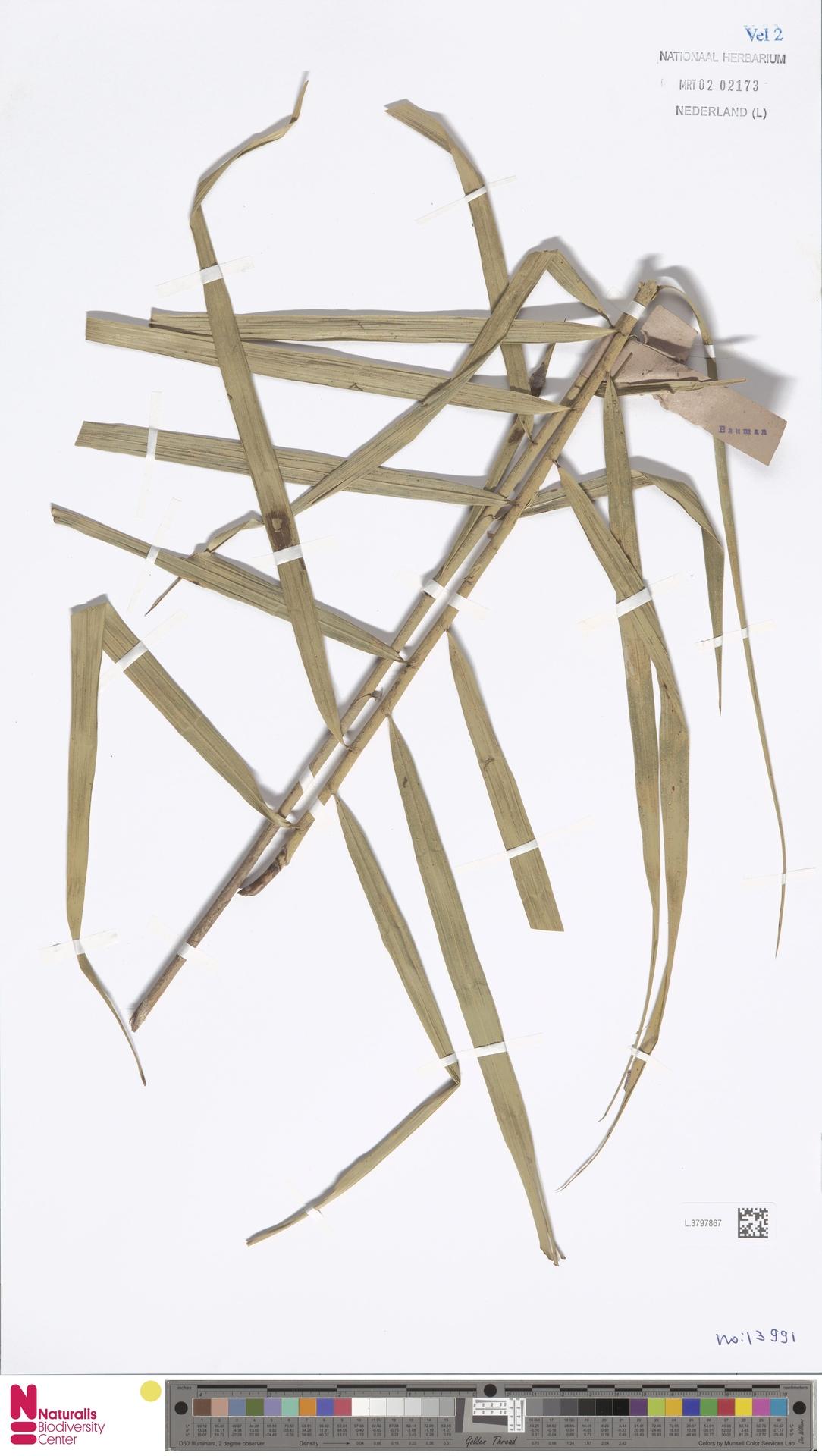 L.3797867 | Flagellaria indica L.
