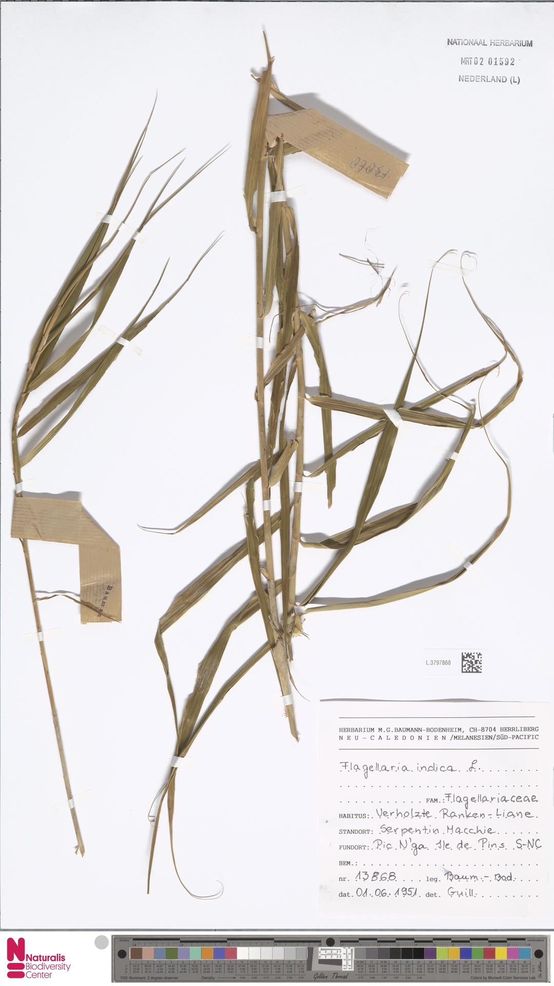 L.3797868 | Flagellaria indica L.