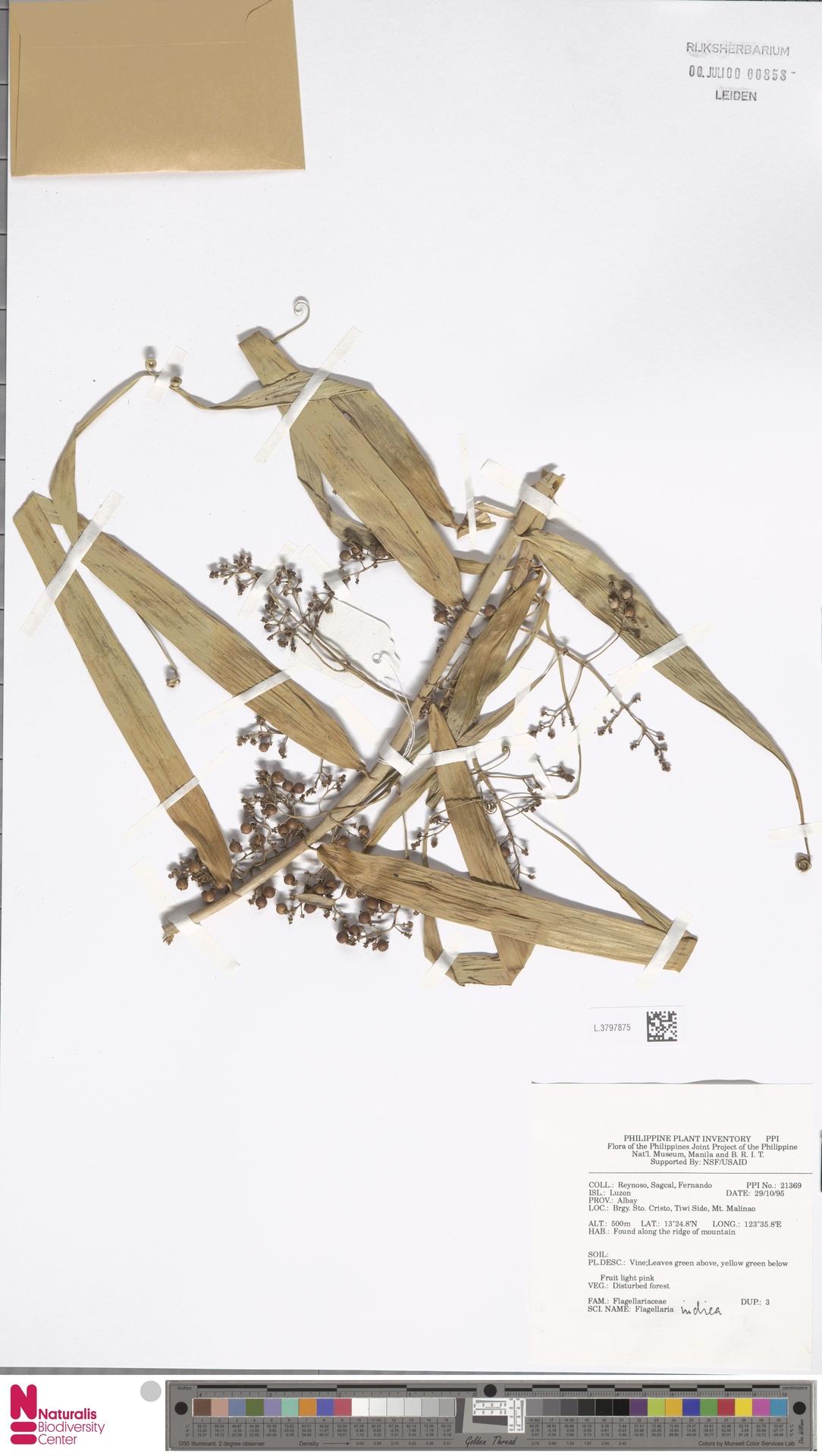 L.3797875 | Flagellaria indica L.