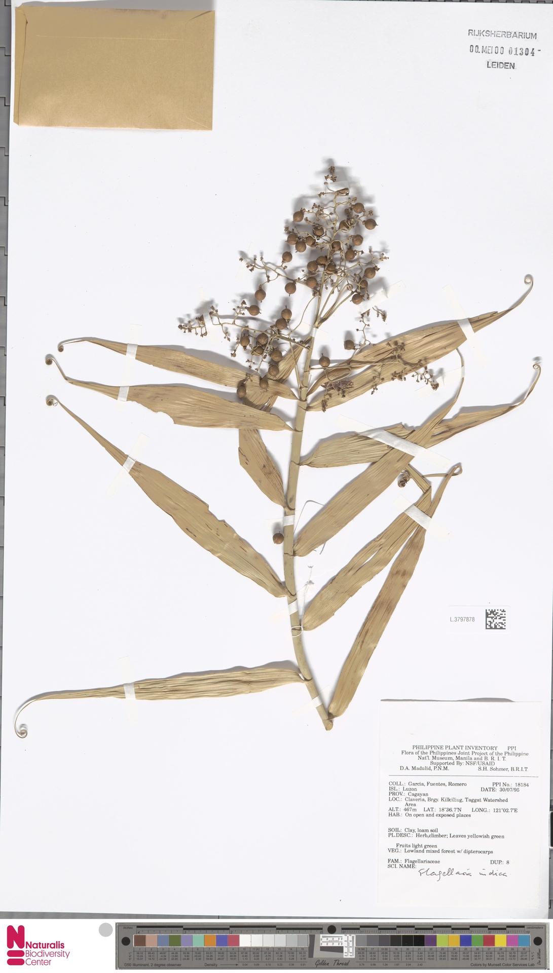 L.3797878   Flagellaria indica L.