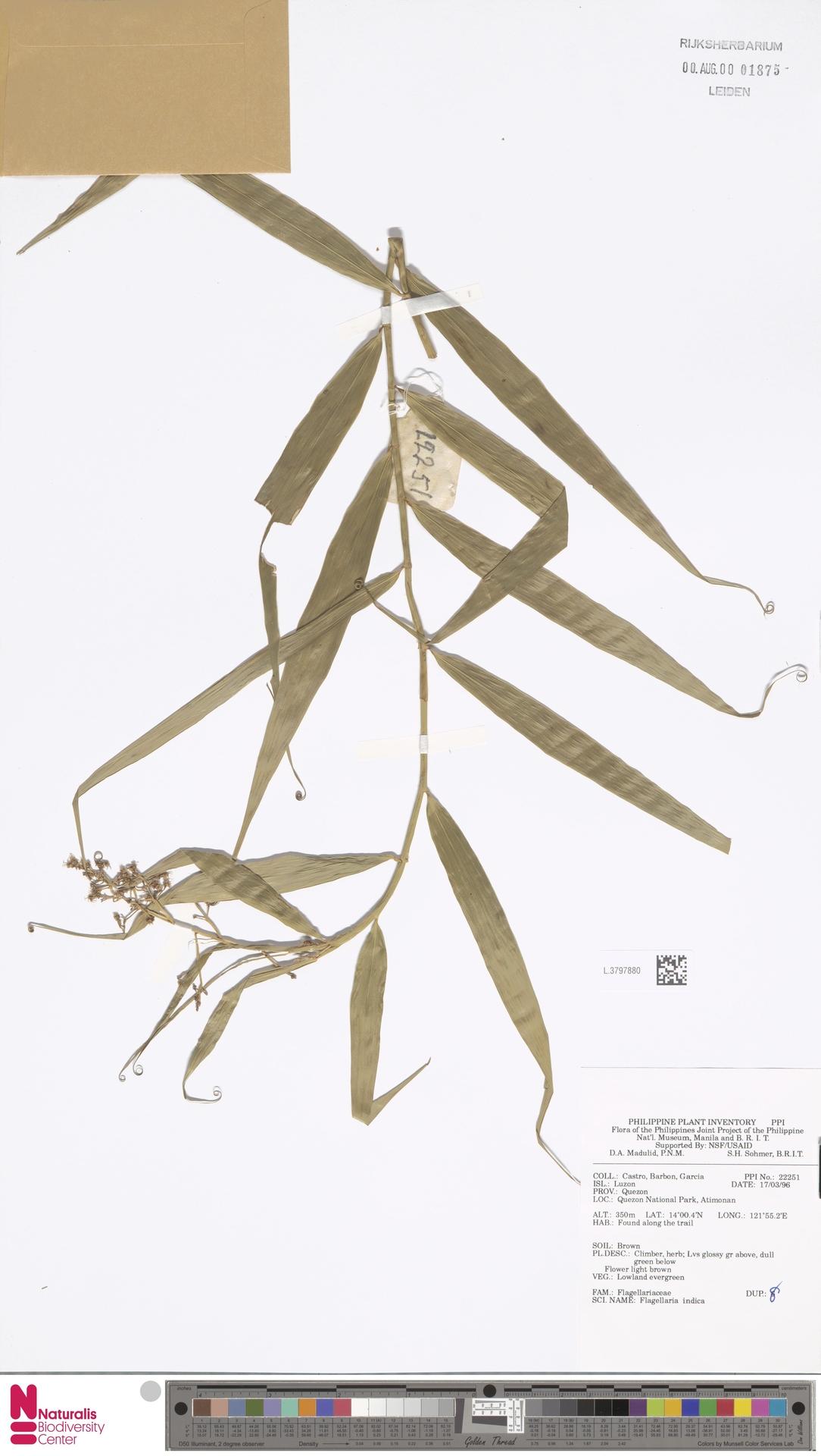 L.3797880 | Flagellaria indica L.
