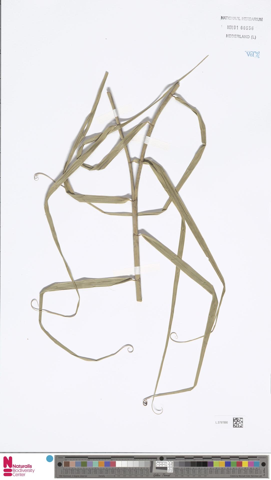L.3797890 | Flagellaria indica L.