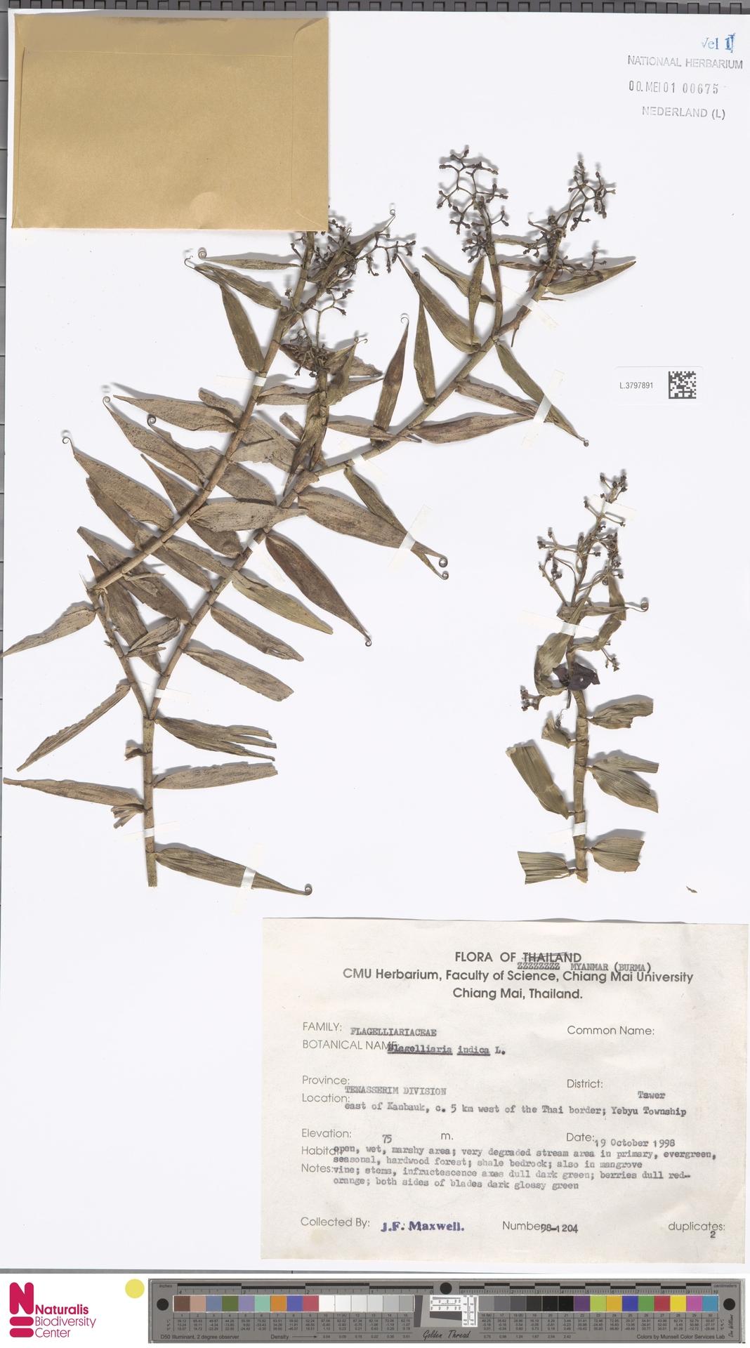 L.3797891 | Flagellaria indica L.