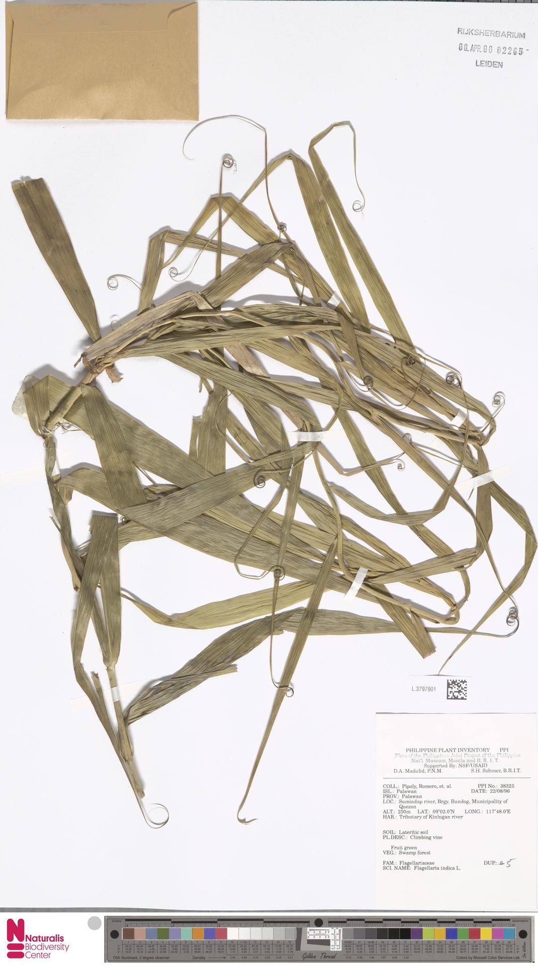 L.3797901 | Flagellaria indica L.