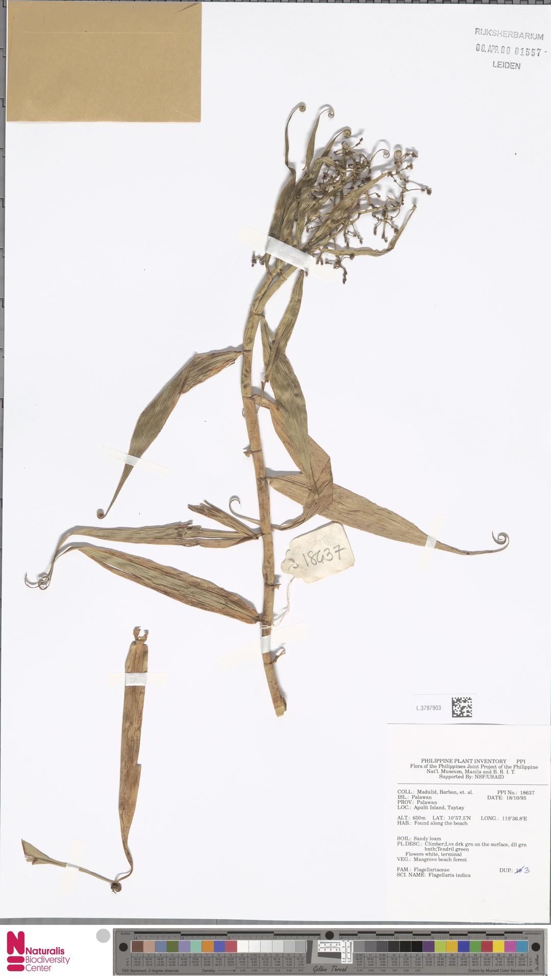 L.3797903 | Flagellaria indica L.
