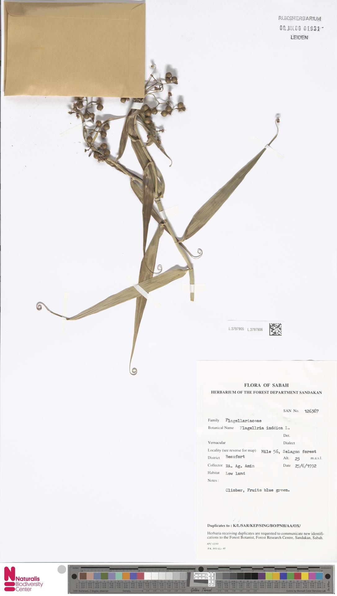 L.3797906 | Flagellaria indica L.