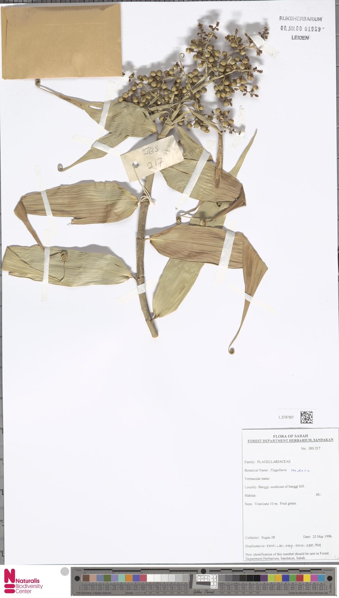 L.3797907   Flagellaria indica L.