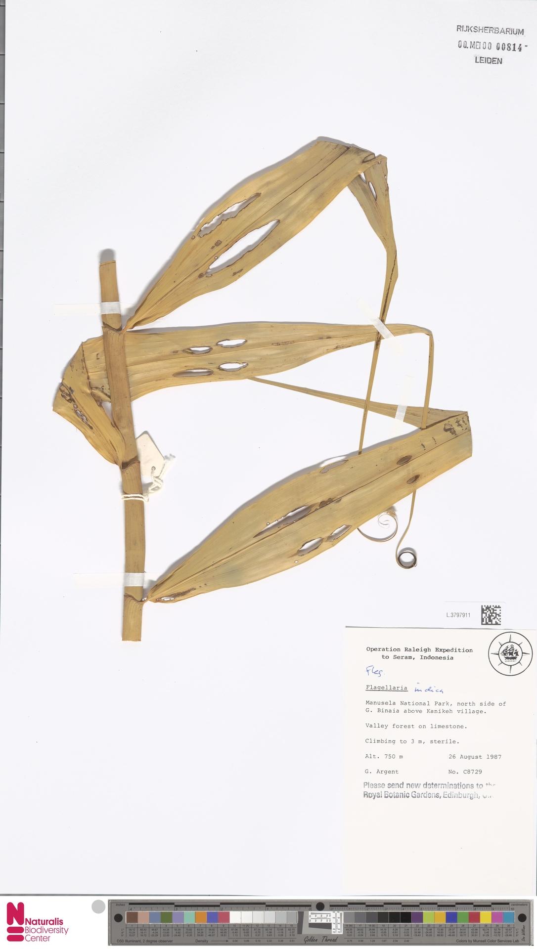 L.3797911   Flagellaria indica L.