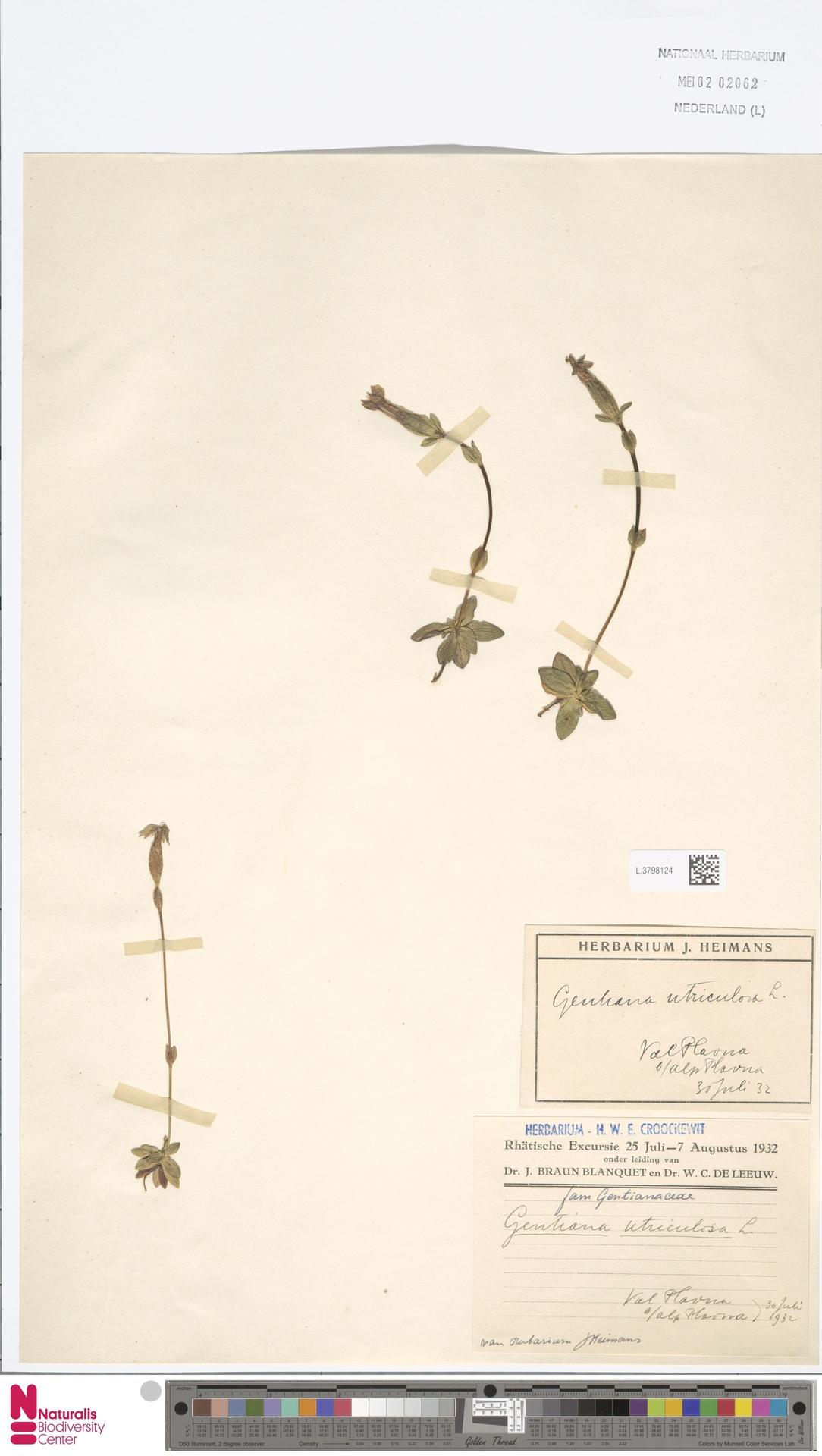 L.3798124 | Gentiana utriculosa L.