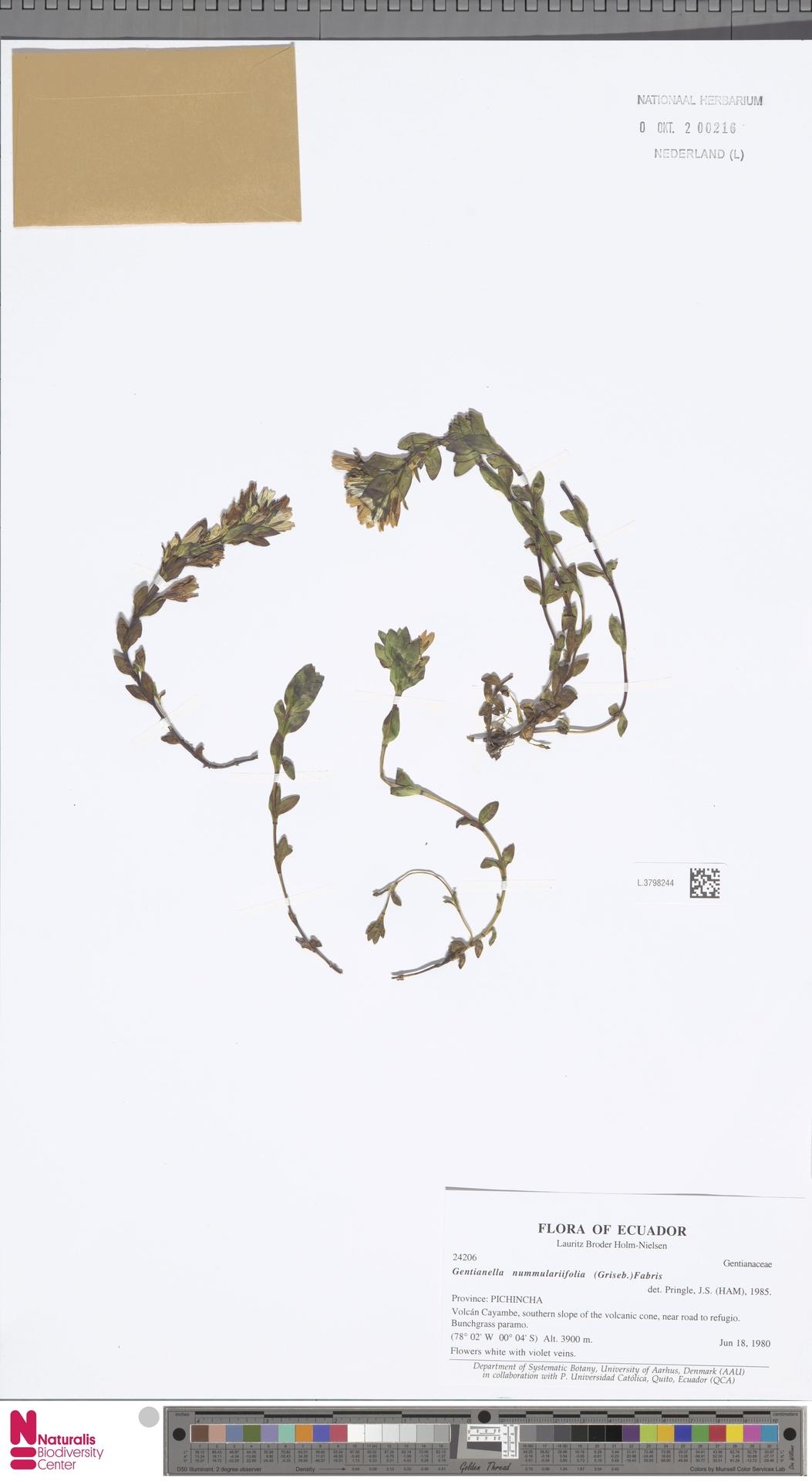 L.3798244 | Gentianella nummularifolia (Griseb.) Fabris