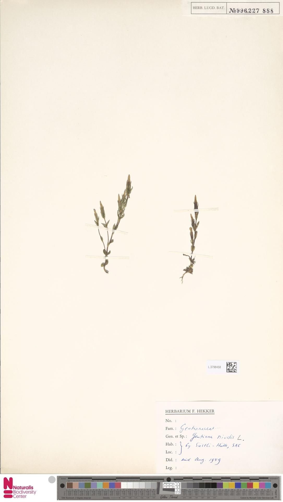 L.3798458 | Gentiana nivalis L.
