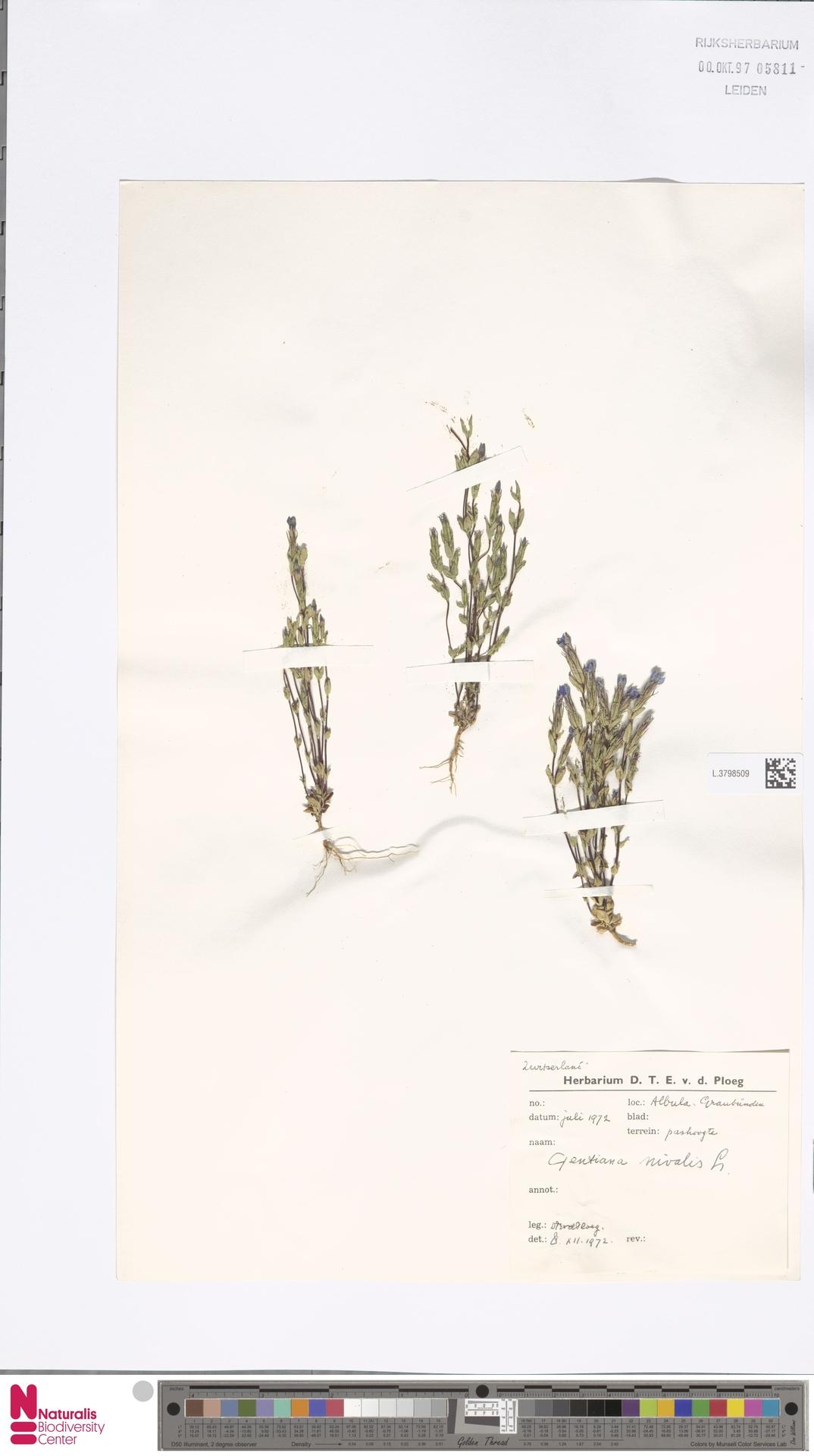 L.3798509 | Gentiana nivalis L.