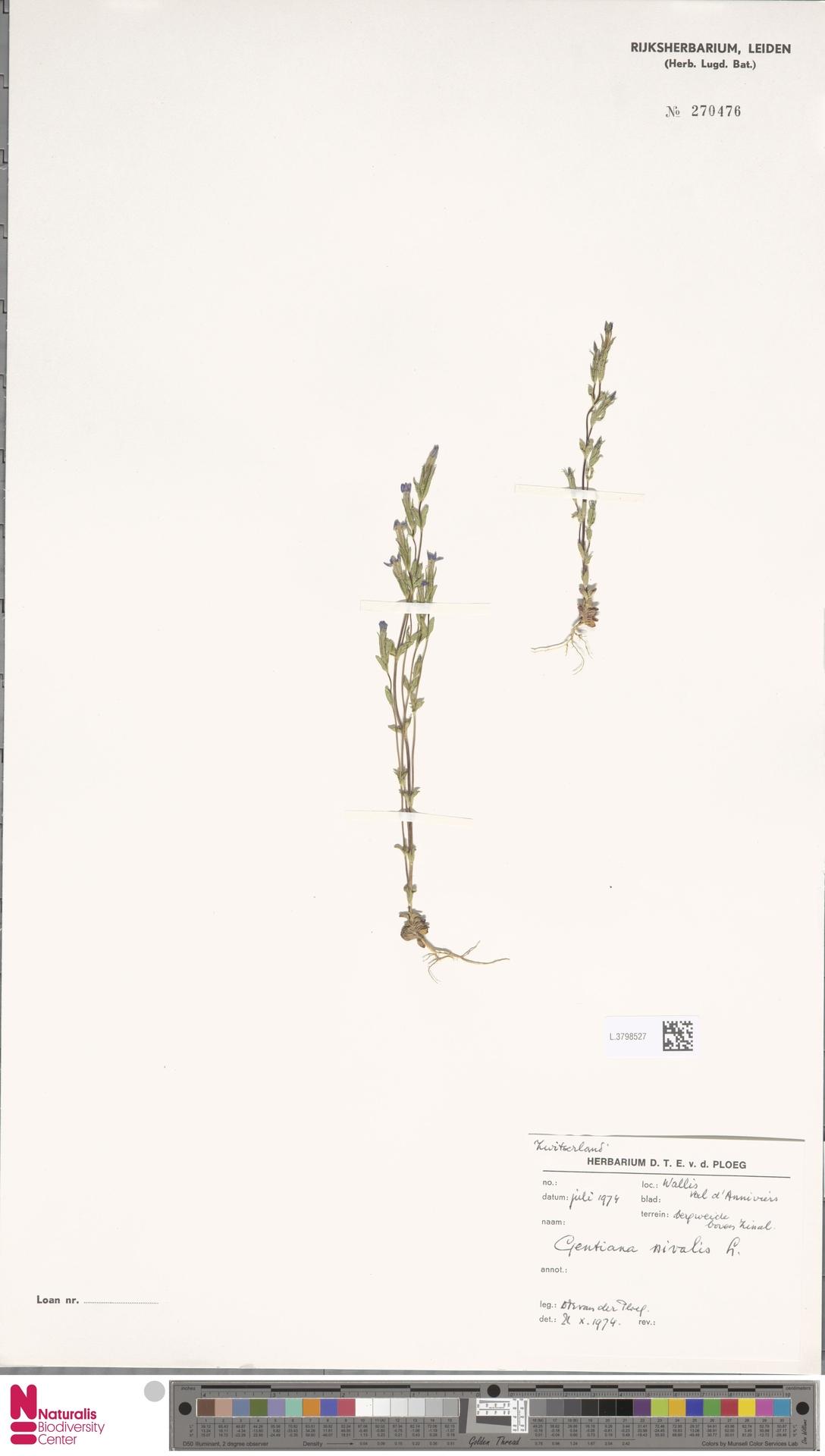 L.3798527 | Gentiana nivalis L.