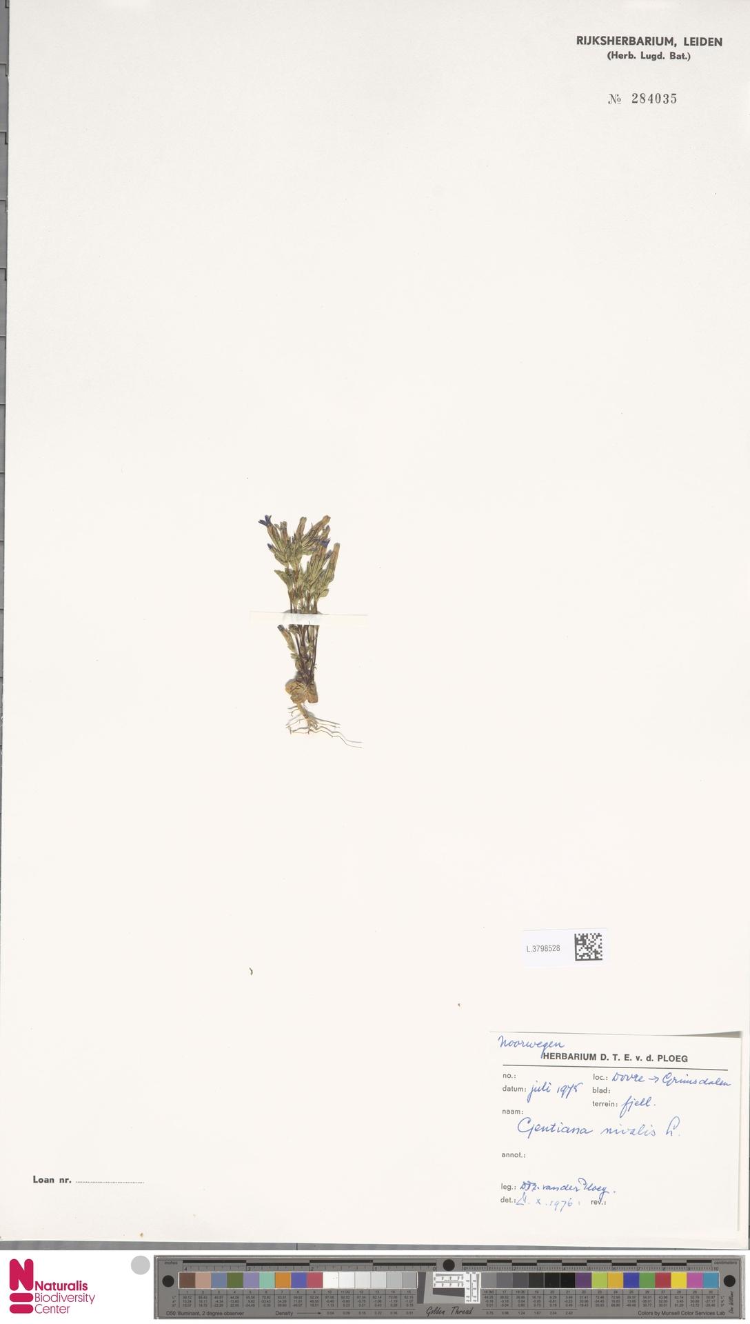 L.3798528 | Gentiana nivalis L.