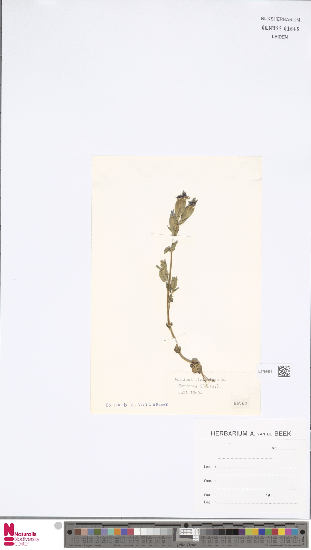 L.3798652 | Gentiana utriculosa L.