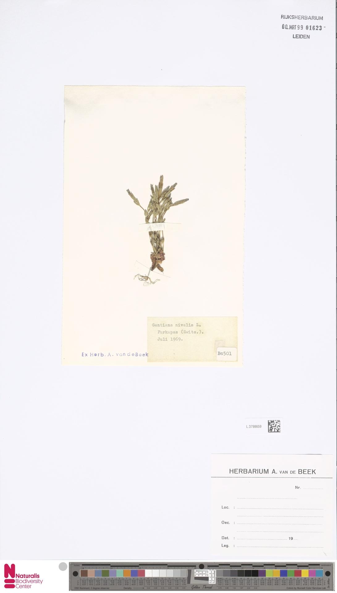 L.3798659 | Gentiana nivalis L.