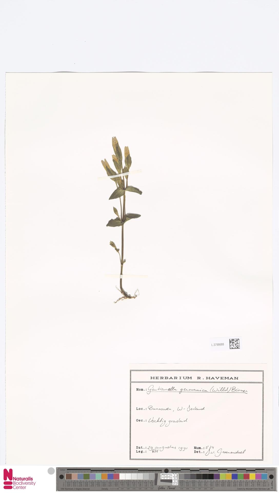 L.3798688 | Gentianella germanica (Willd.) E.F.Warb.