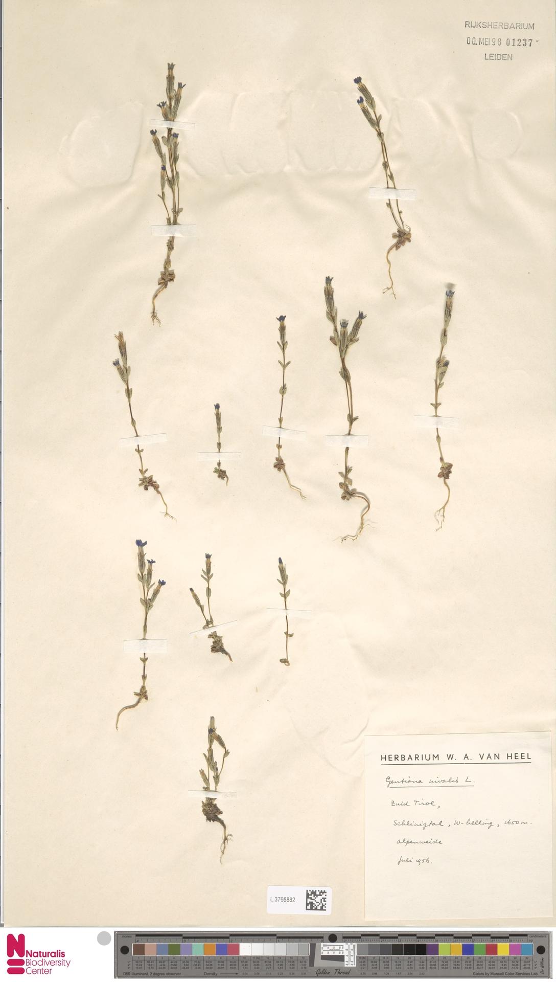 L.3798882 | Gentiana nivalis L.