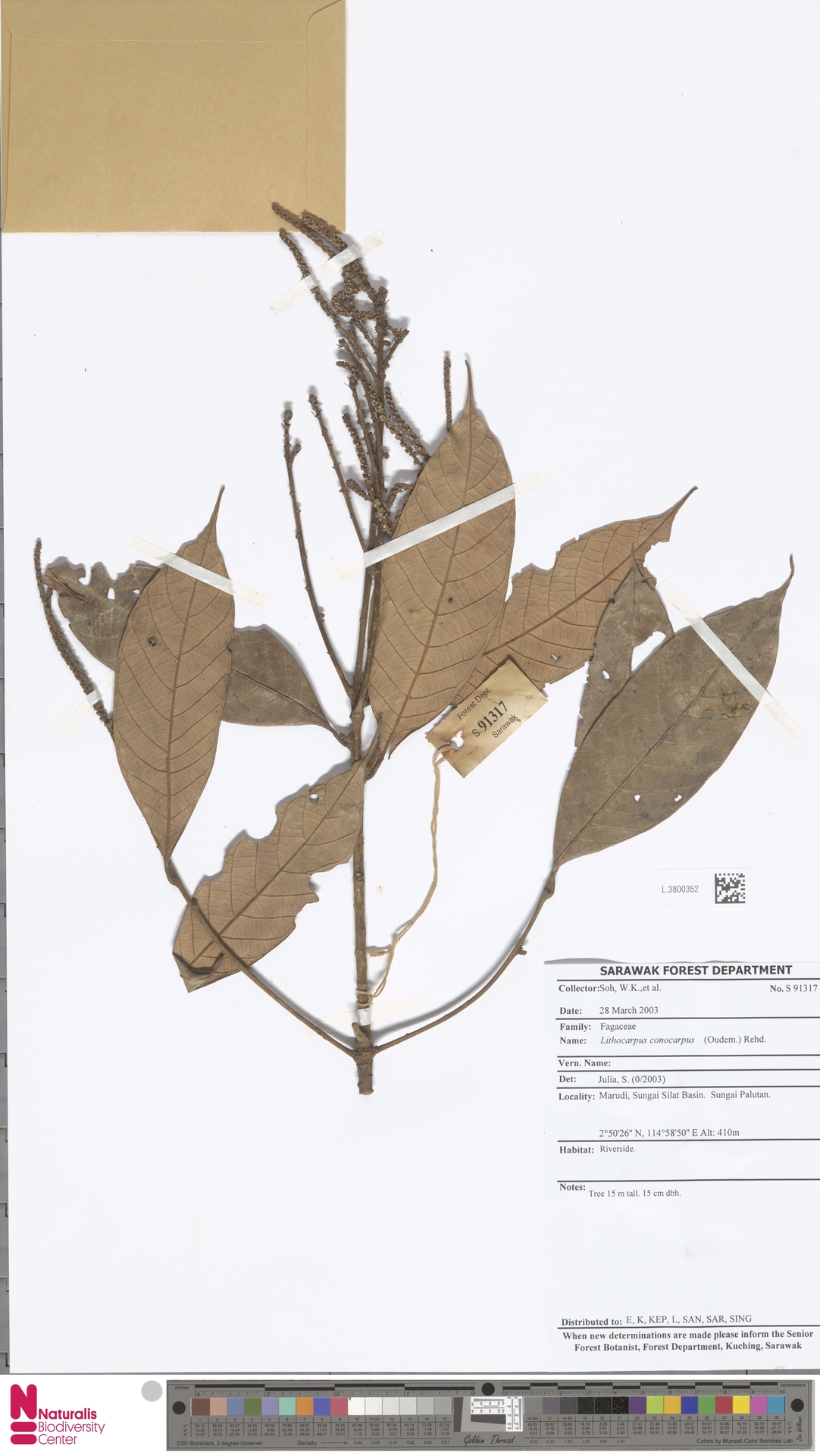 L.3800352   Lithocarpus conocarpus (Oudem.) Rehder