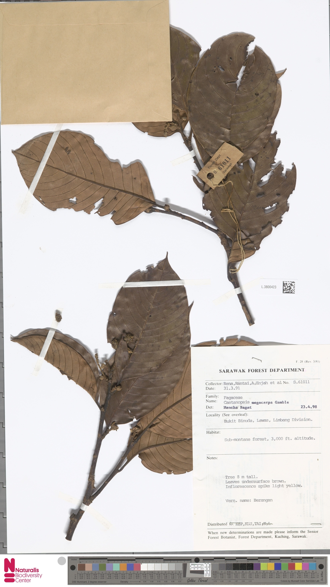 L.3800423   Castanopsis megacarpa Gamble