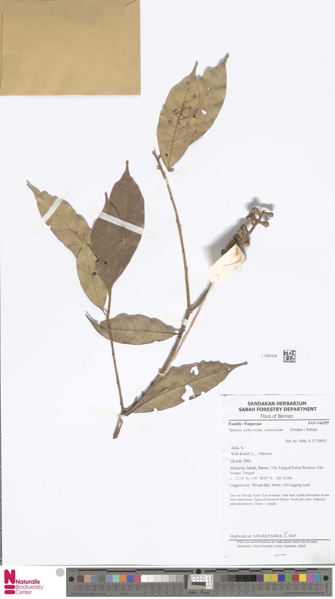 L.3800428 | Lithocarpus conocarpus (Oudem.) Rehder