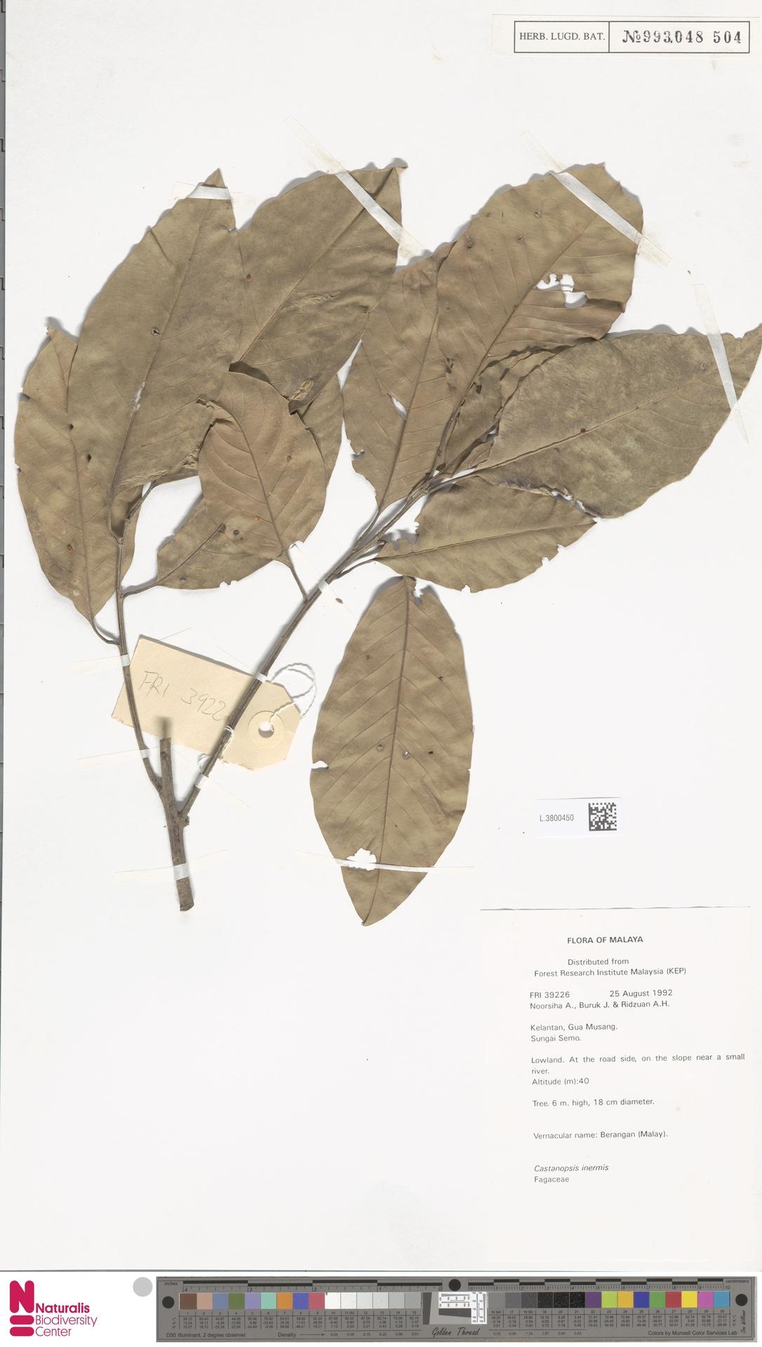 L.3800450 | Castanopsis inermis (Lindl.) Benth. & Hook.f.