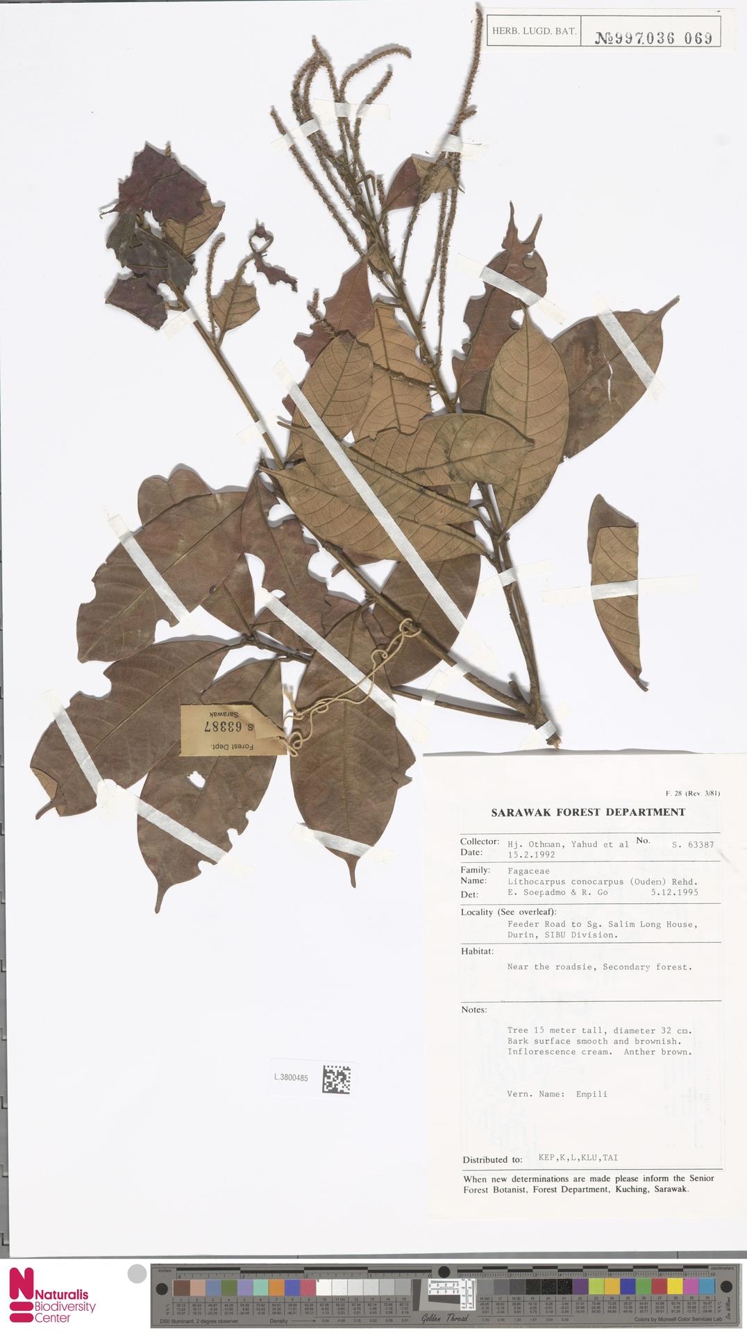 L.3800485 | Lithocarpus conocarpus (Oudem.) Rehder