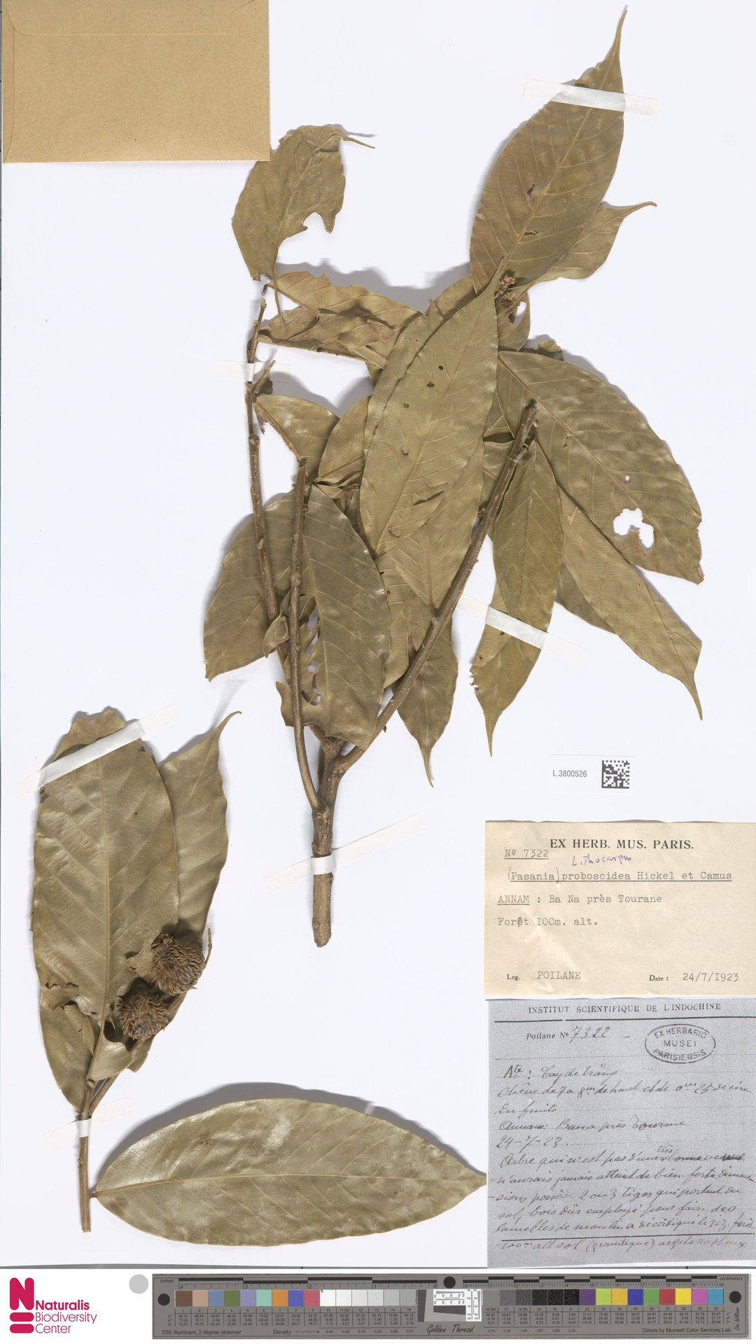 L.3800526 | Lithocarpus proboscideus (Hickel & A.Camus) A.Camus