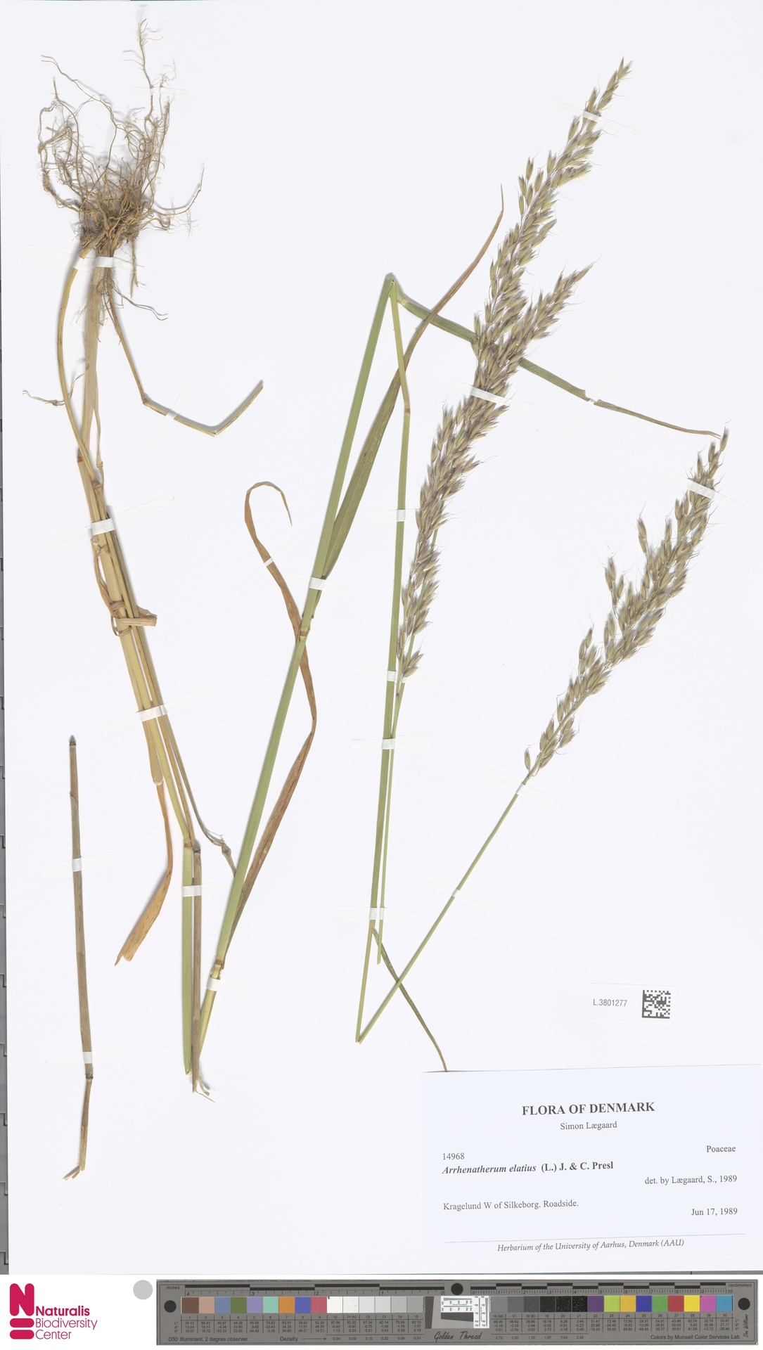 L.3801277 | Arrhenatherum elatius (L.) P.Beauv. ex J.Presl & C.Presl