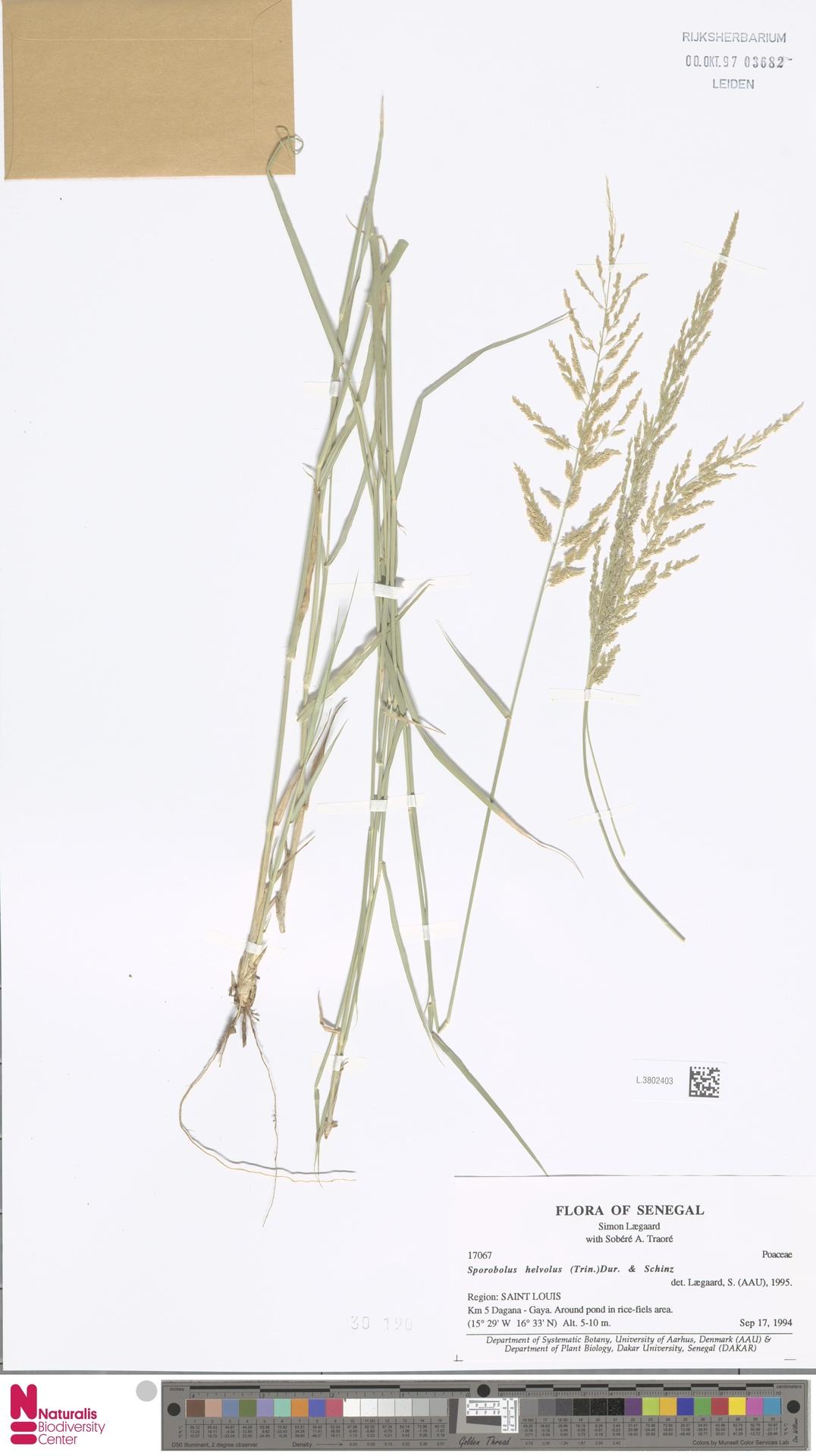 L.3802403 | Sporobolus helvolus (Trin.) T.Durand & Schinz